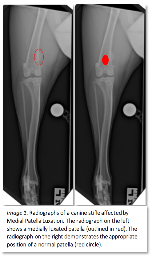 Medial Patella Luxation — Queensland Veterinary Specialists