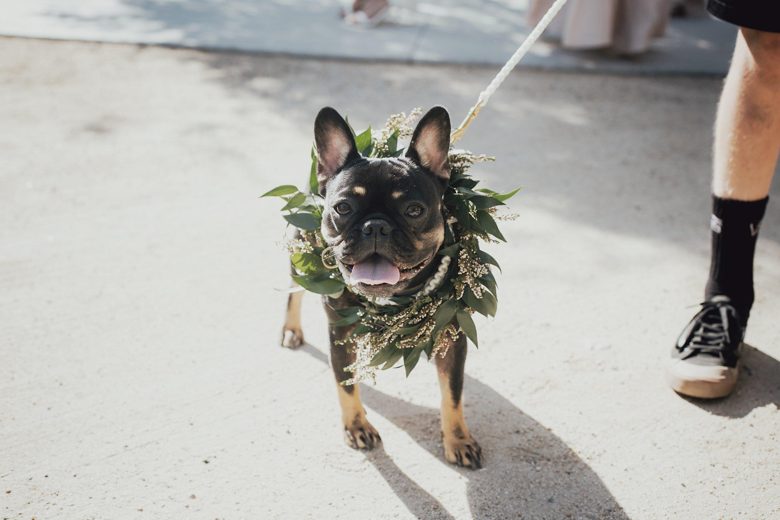 french bull dog as the ring bearer