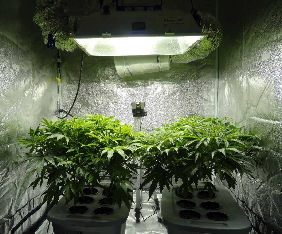 cannabis-ready-flowering-soon.jpg