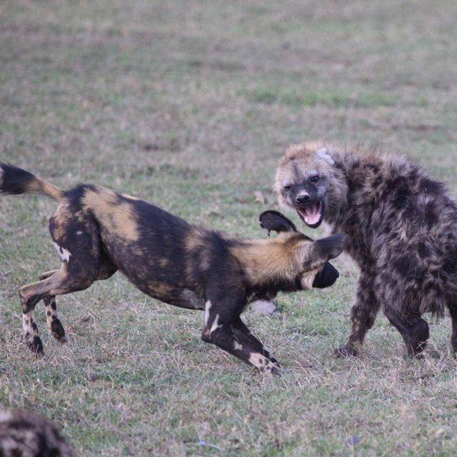 Wild Dog vs Hyena this trip has been amazing #windsongtravel #travelafrica #twigatours #travelpics #iloveafrica