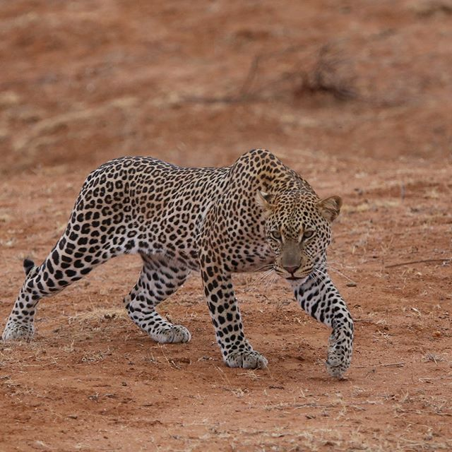Samburu national park never ceased to amaze me ... my group have had an incredible experience #windsongtravel #iloveafrica #twigatours #travelphotography #travelafrica #travelpics #animalpics