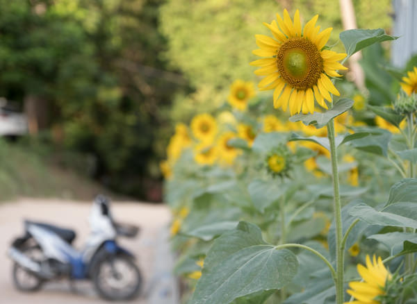 Scooter and Sunflower
