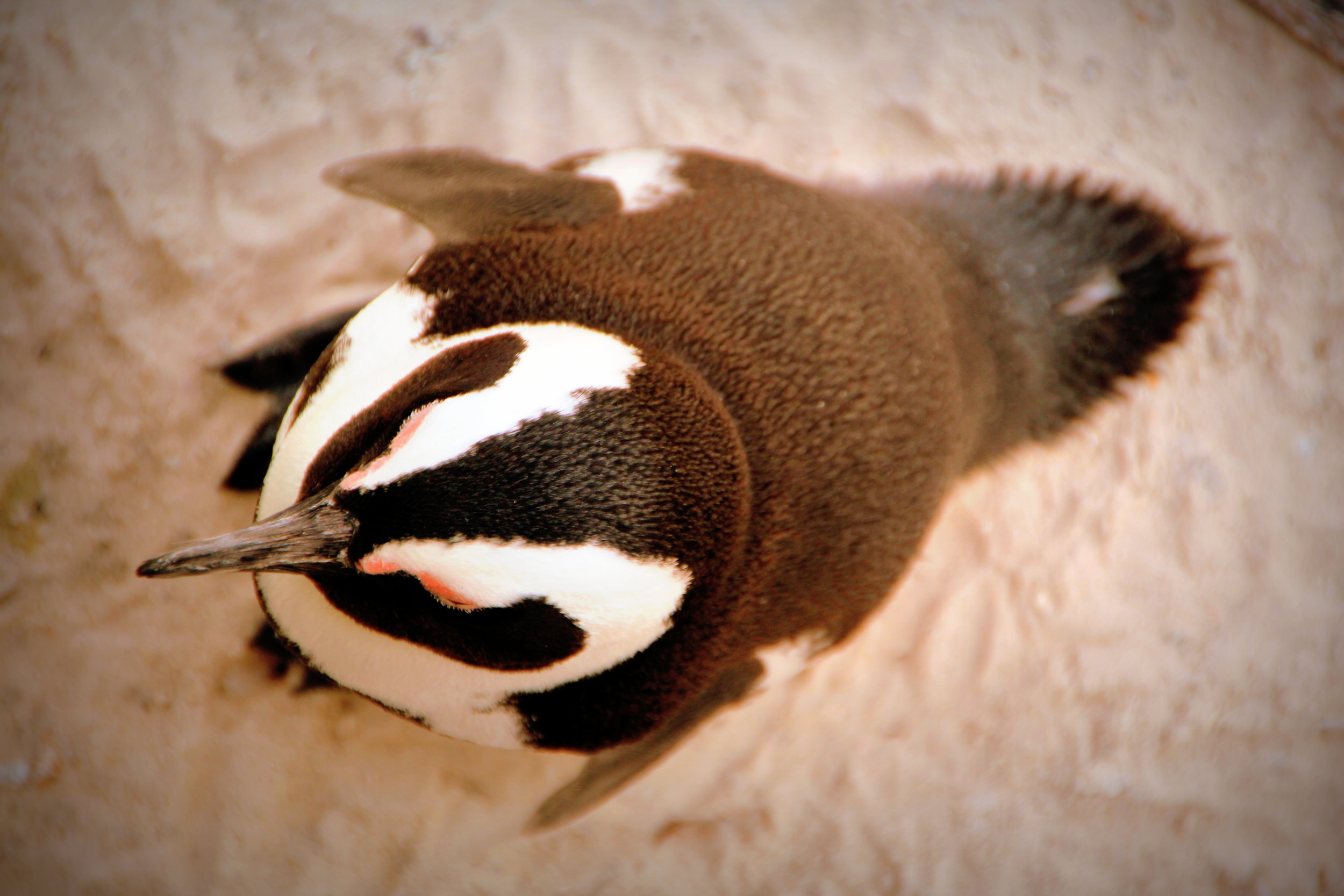 Top View of the Penguin - Boulders Beach