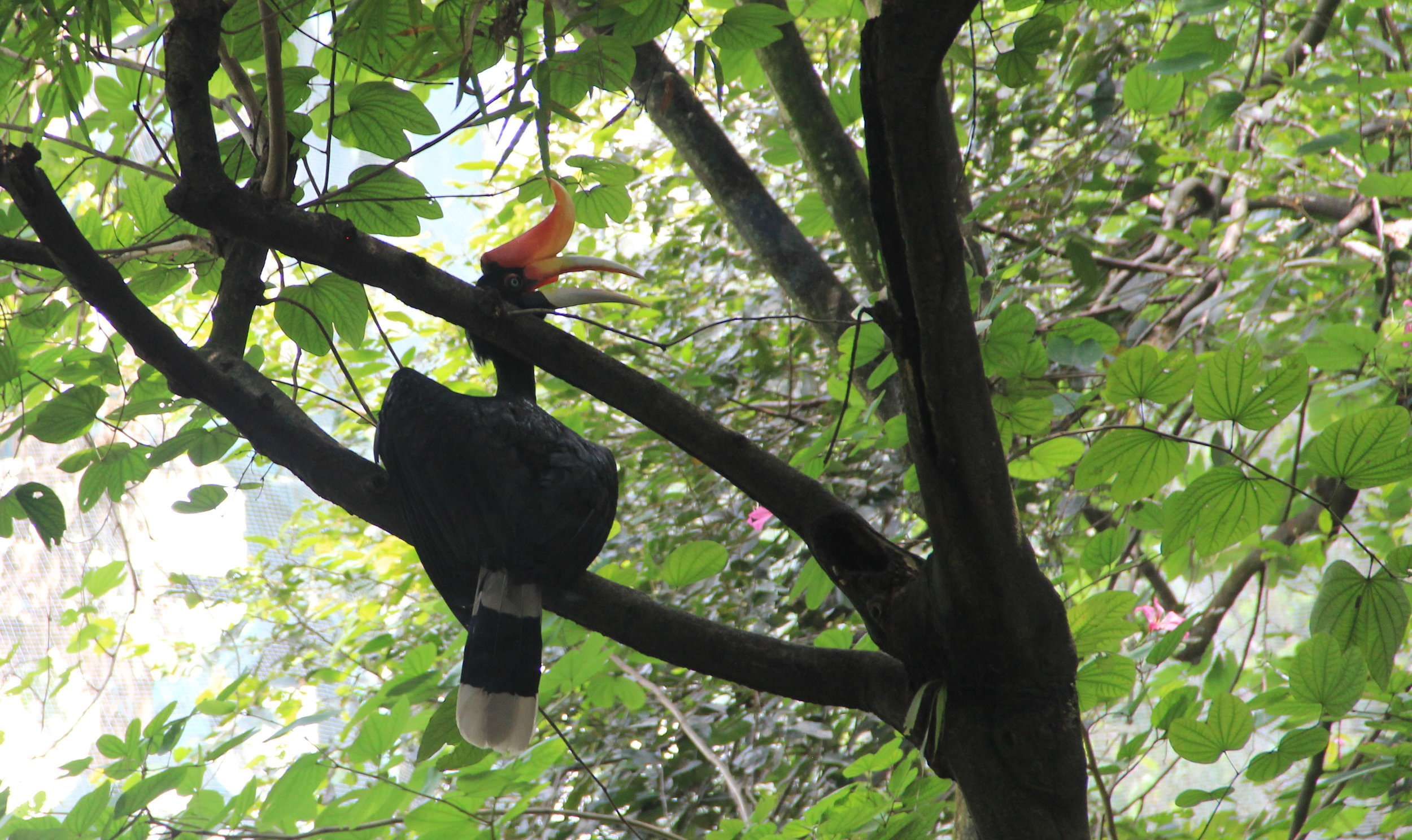 My personal favorite without which Malaysia trip would not have been a success - Rhinoceros Hornbill