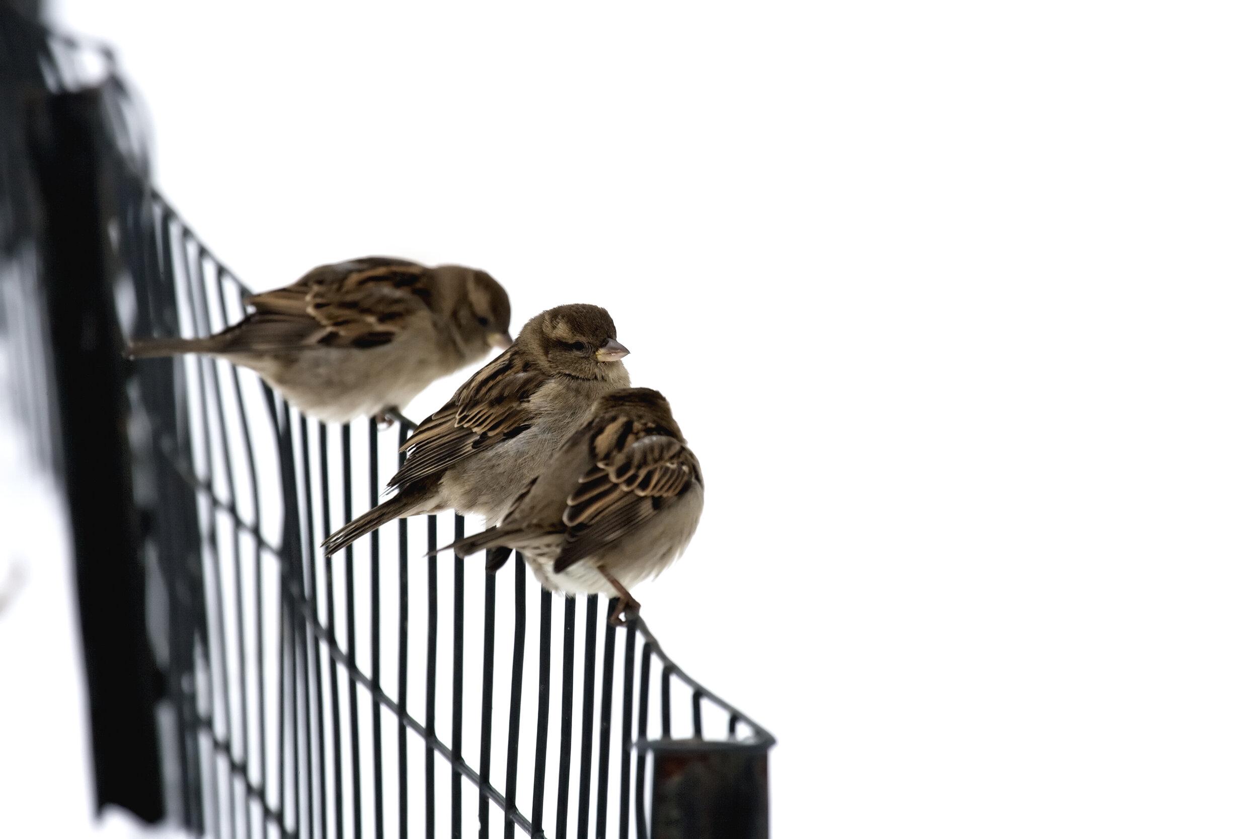 sparrows on a fence.jpg
