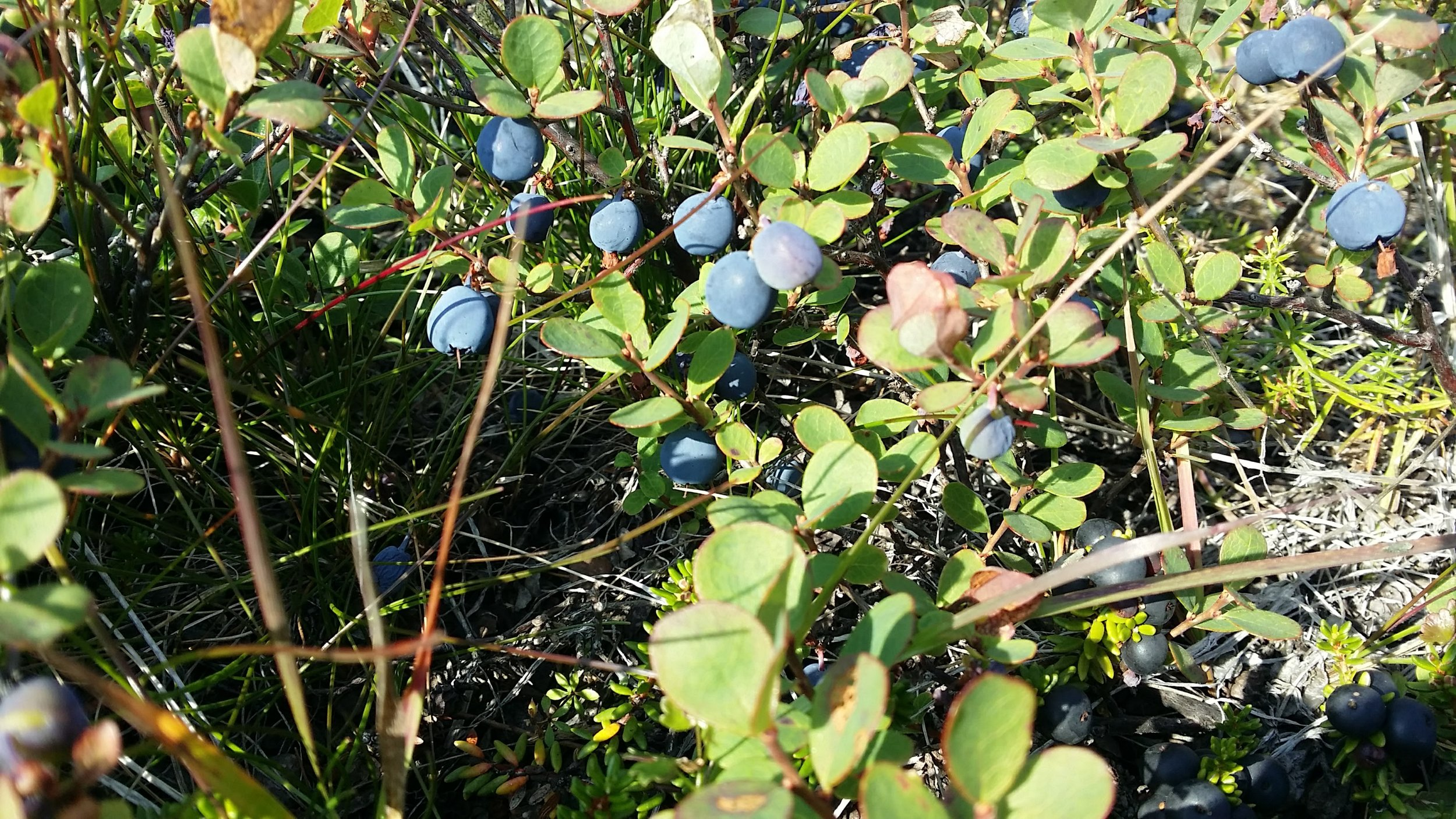 Blueberries waiting to be picked!