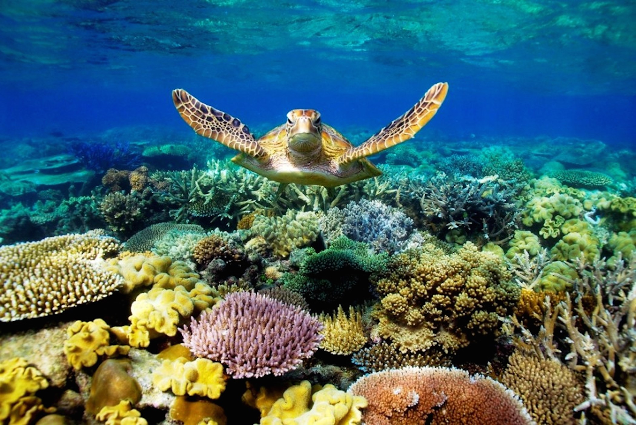 Great-Barrier-Reef-Turtle-Wallpaper.jpg