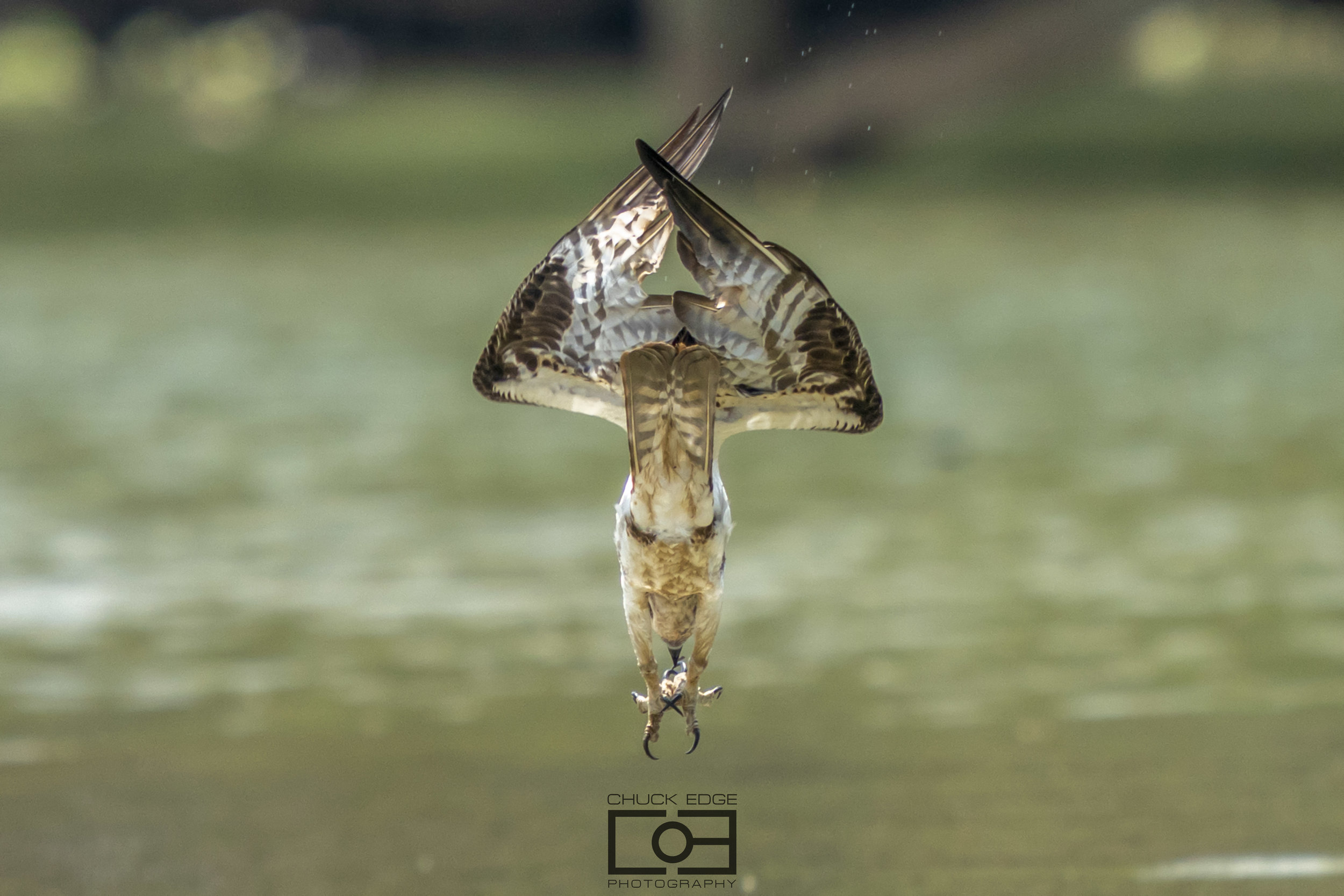 Osprey Dive!! July 7, 2019