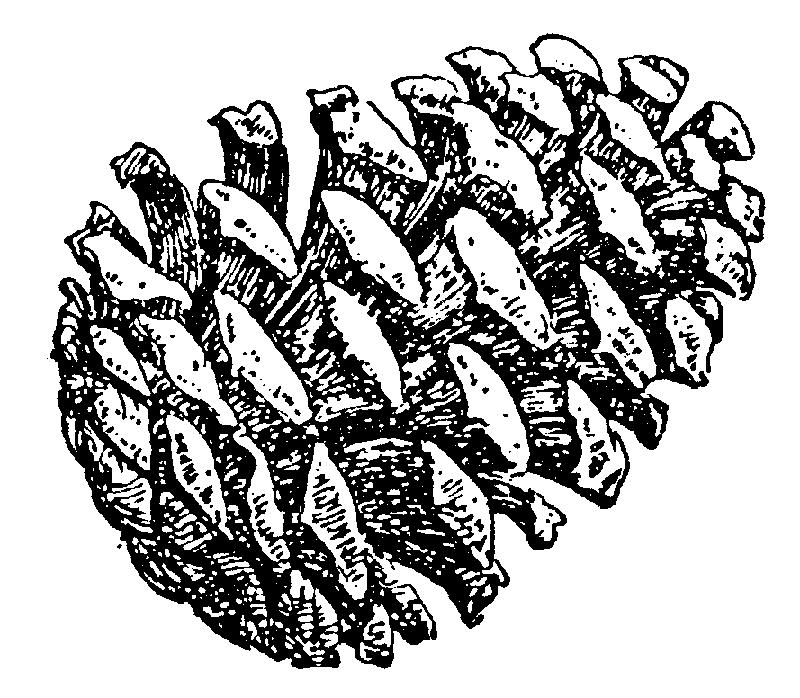 Pine cone 110