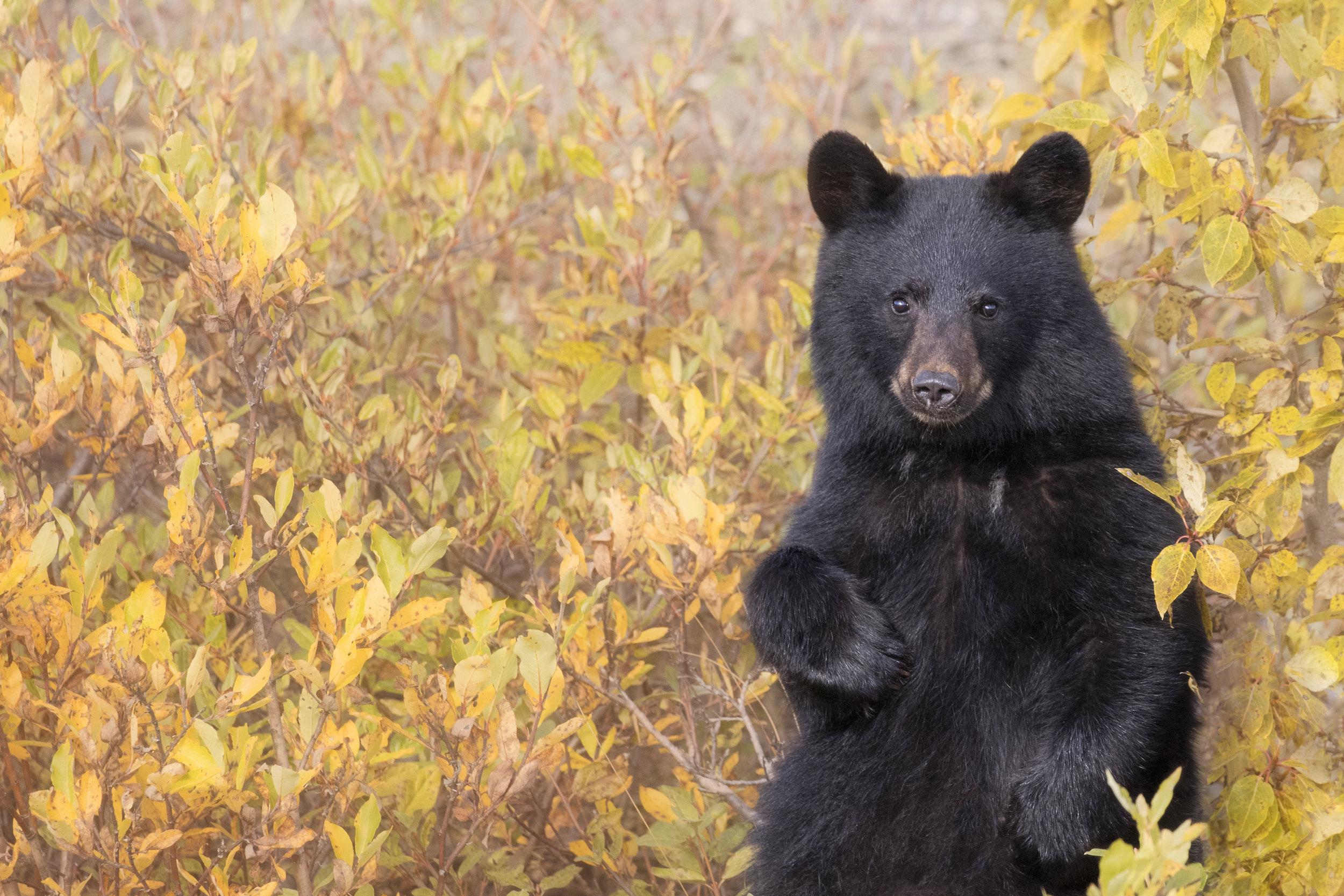 Black Bear Cub - Across the Blue Planet