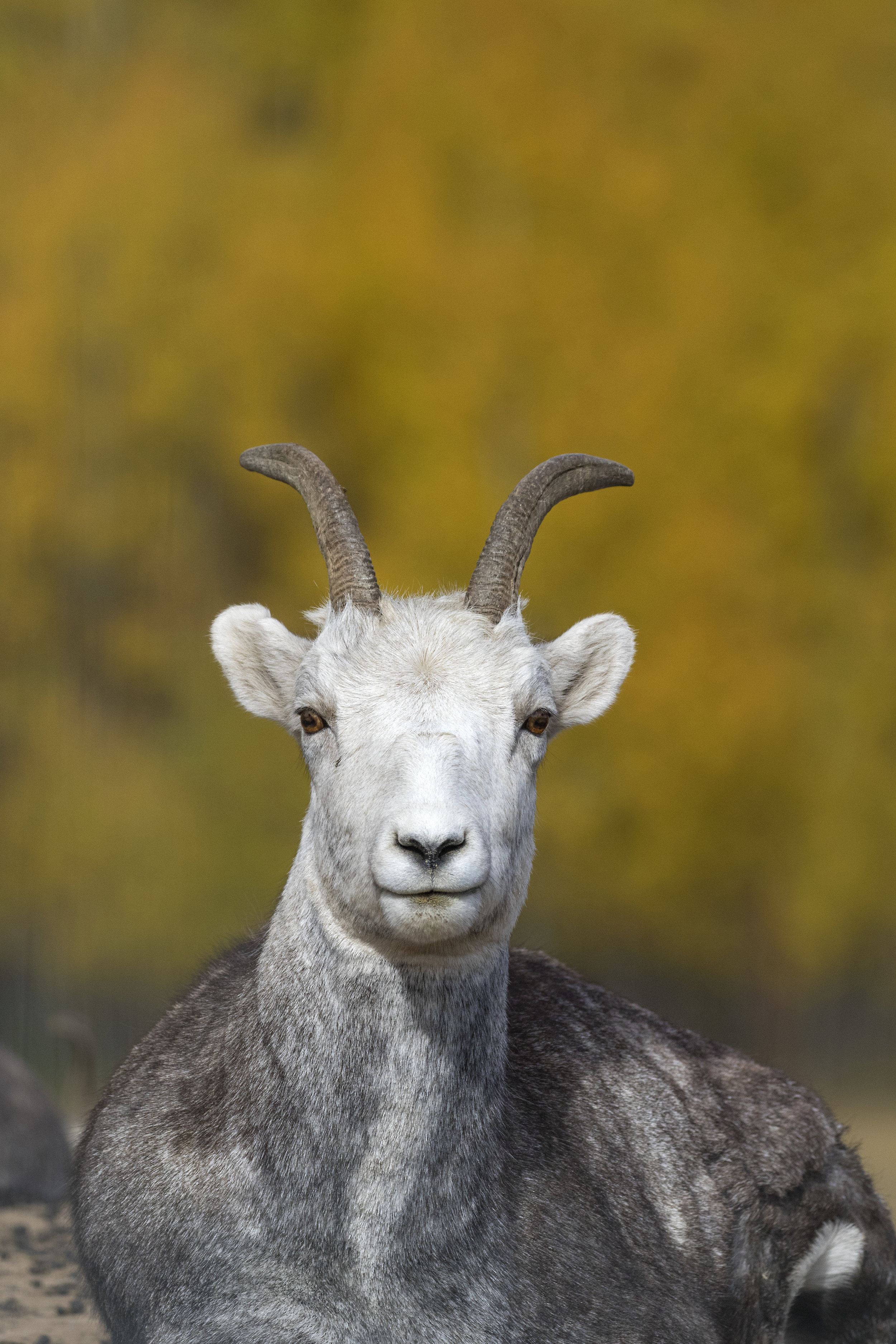 Thin Horn Sheep - Across the Blue Planet