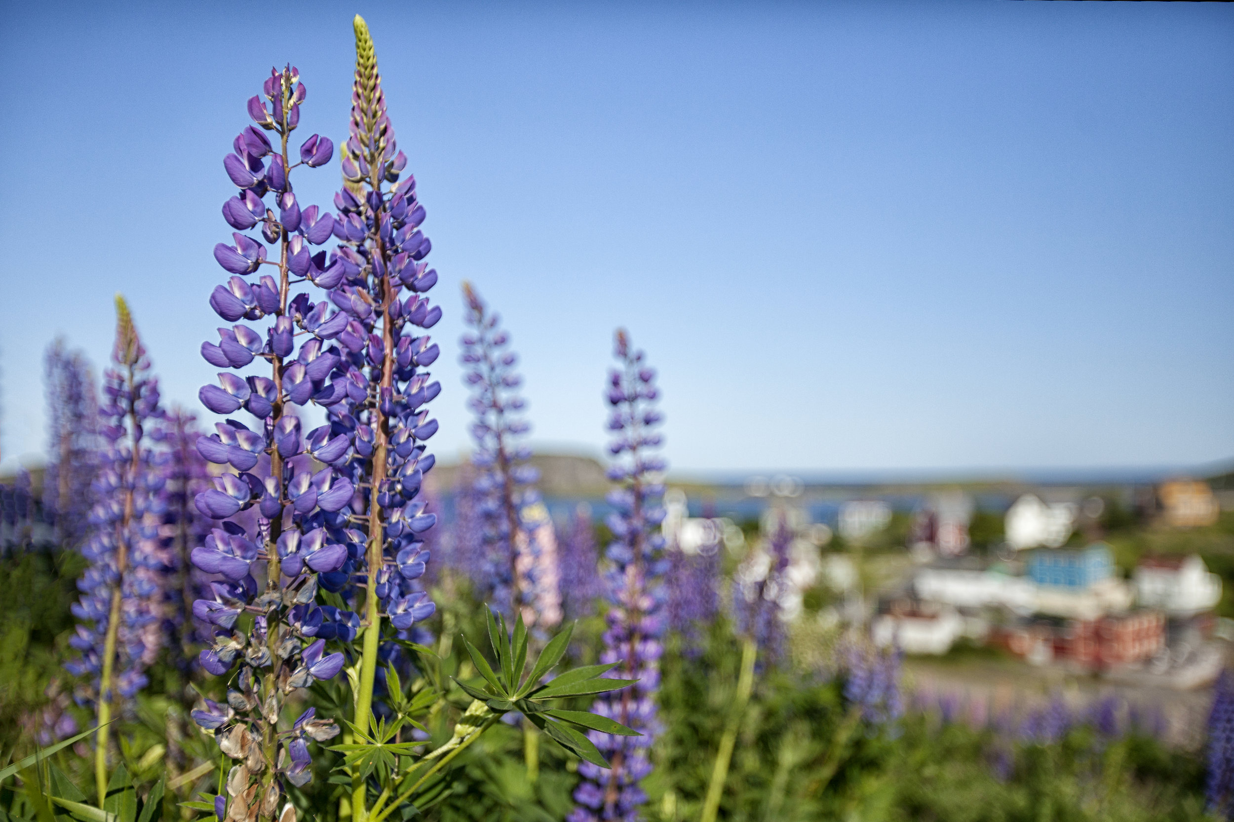 Lupins against Trinity - Across the Blue Planet