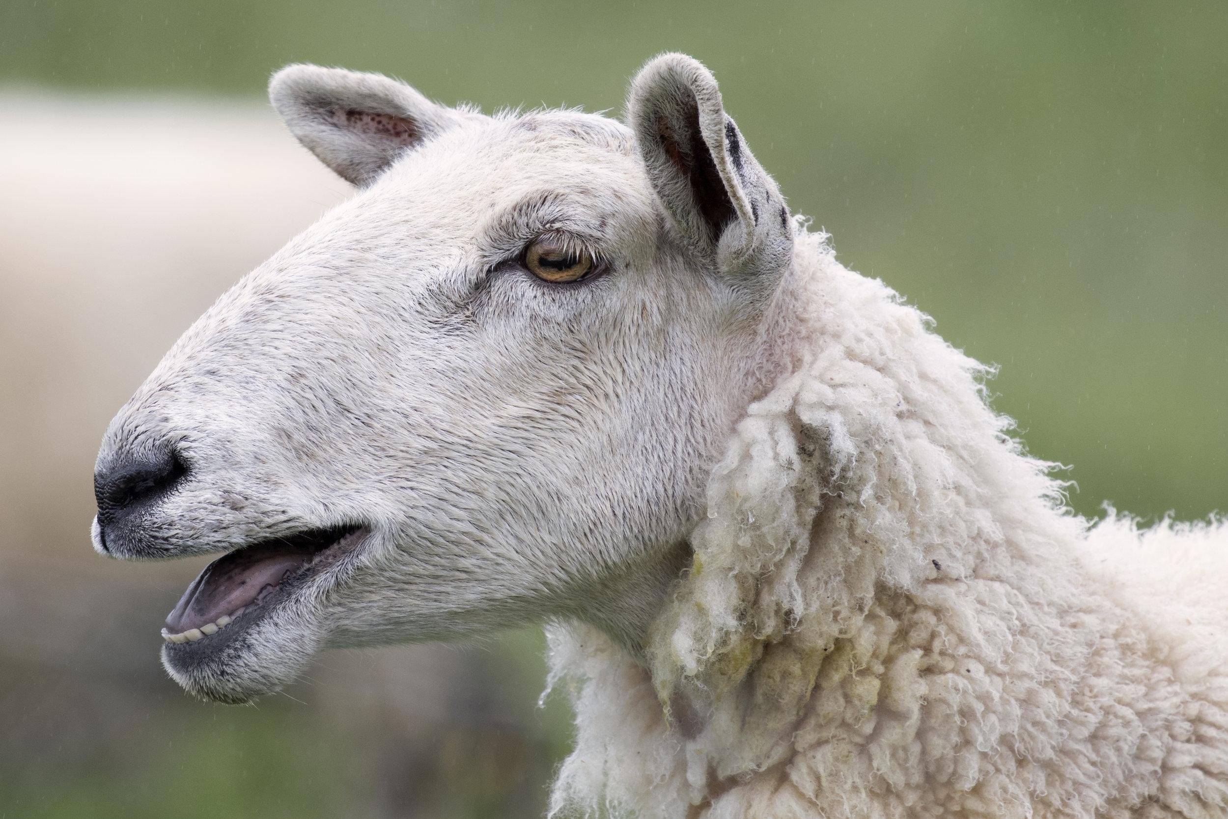Newfoundland Sheep - Across the Blue Planet