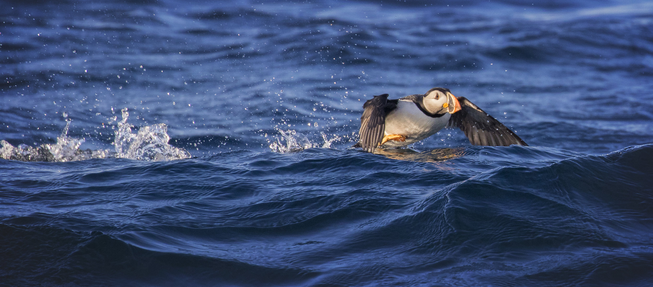 Atlantic Puffin - Across the Blue Planet