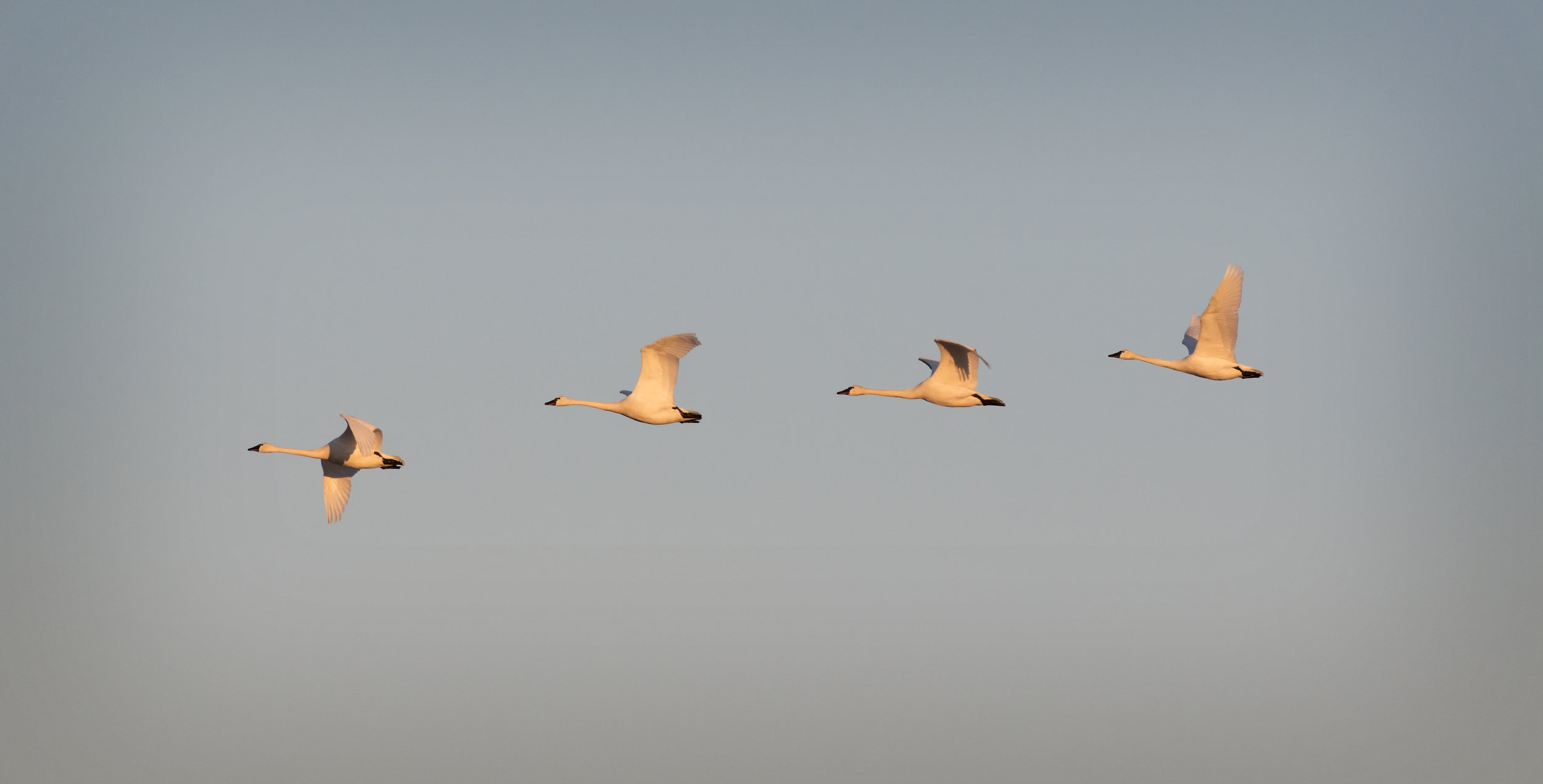 Tundra Swan Migration - Across the Blue Planet