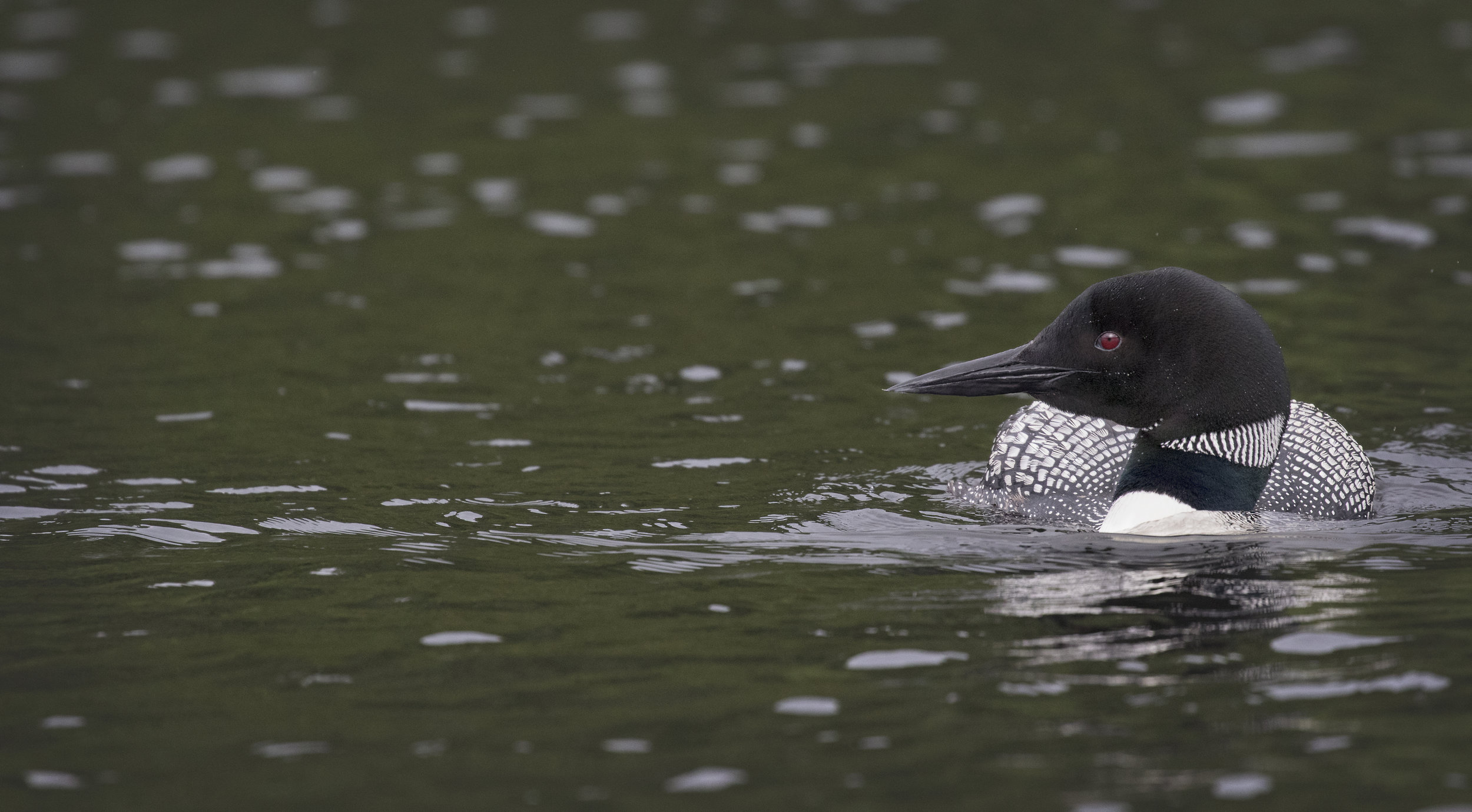 Loon on Salerno Lake - Across the Blue Planet