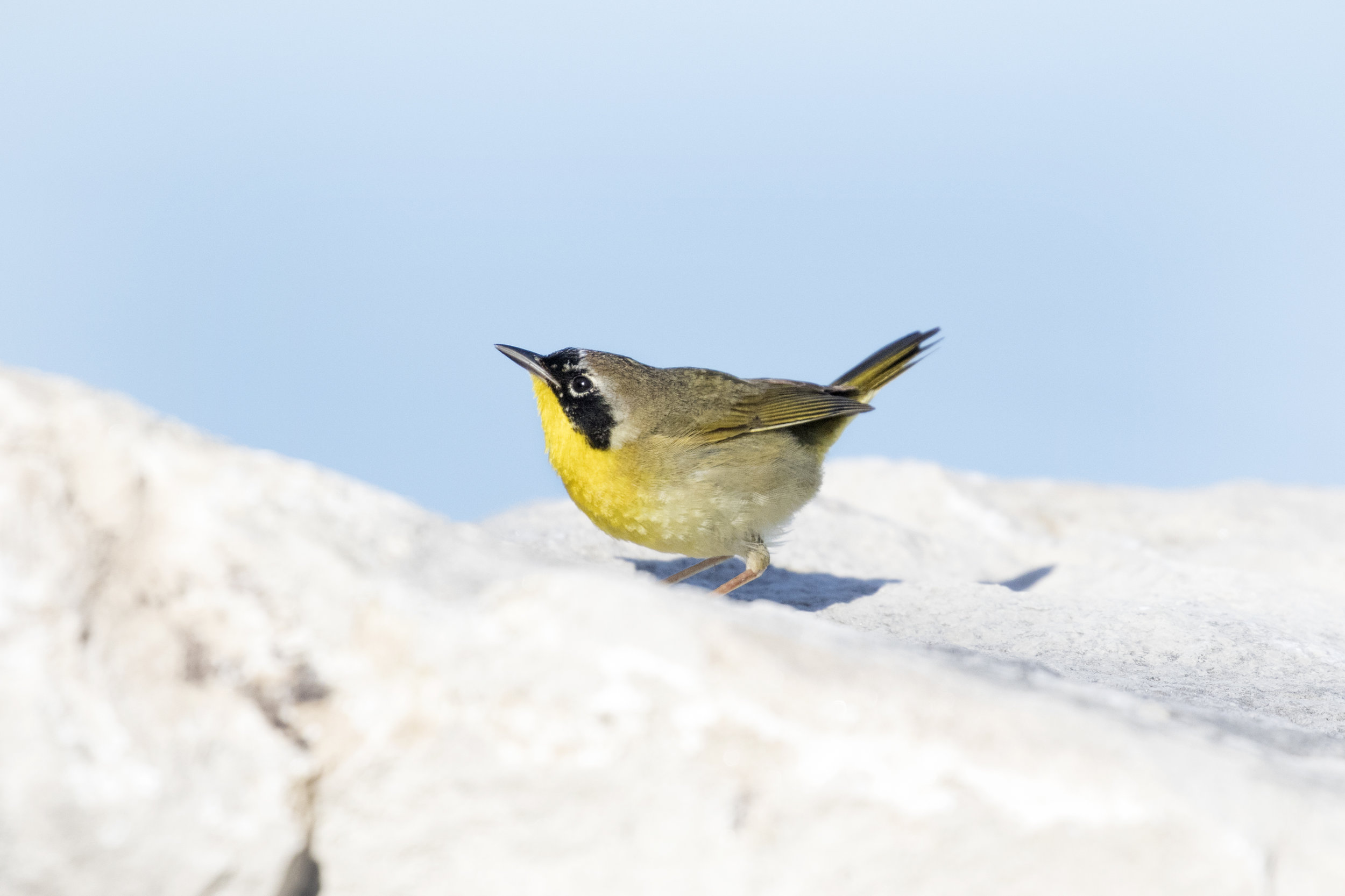 Common Yellow Throated Warbler @ Point Peele - Across the Blue Planet