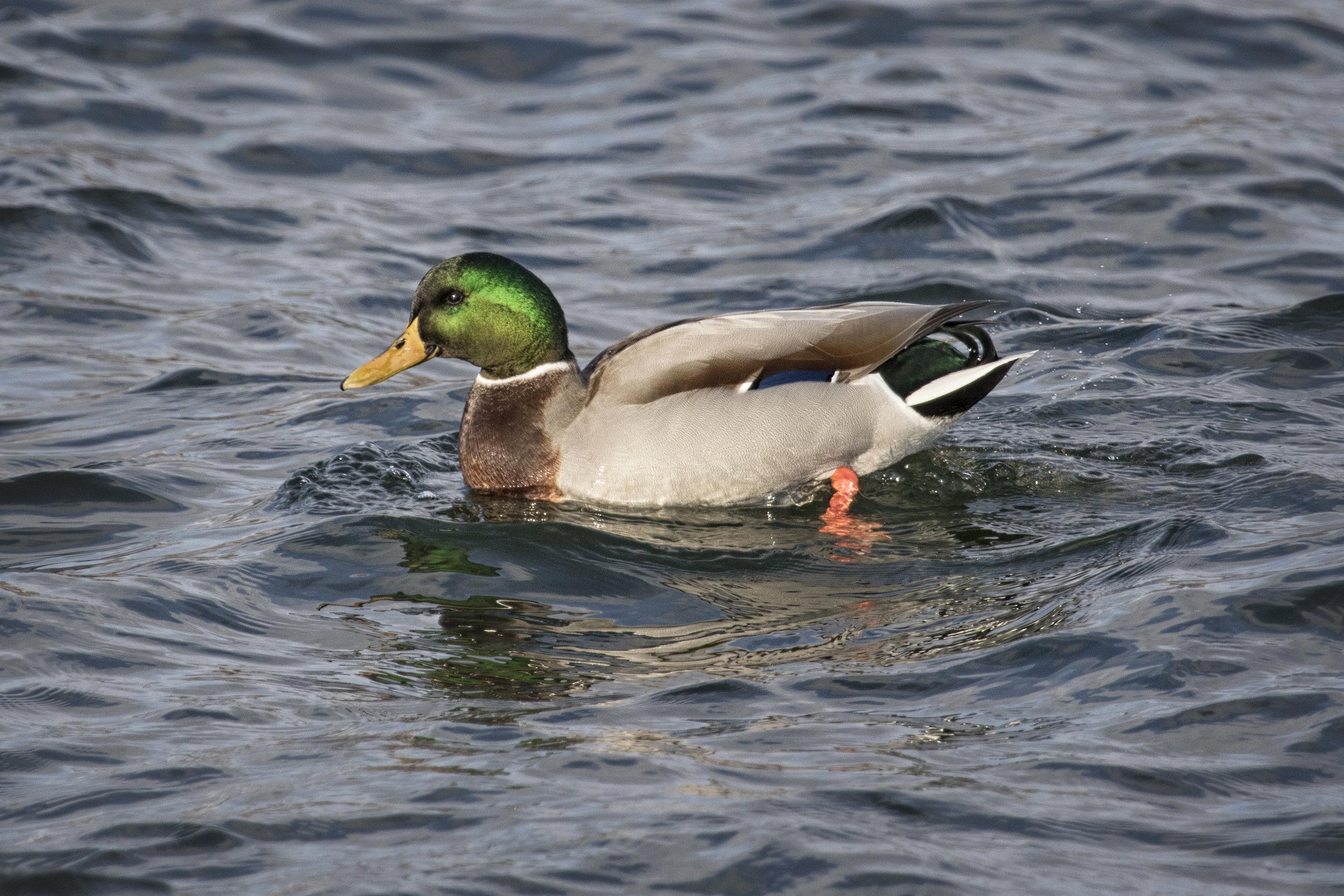 Mallard Duck - Across the Blue Planet