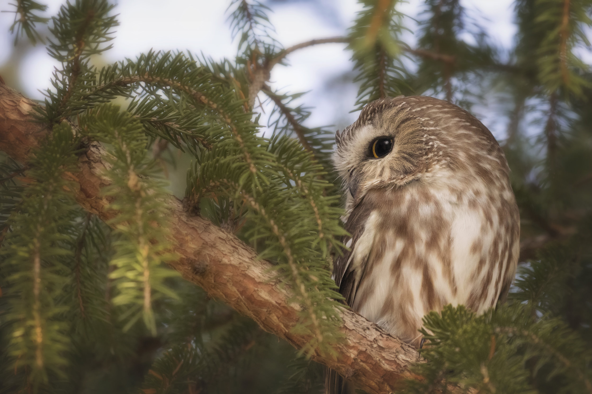 Saw Whet Owl - Across the Blue Planet