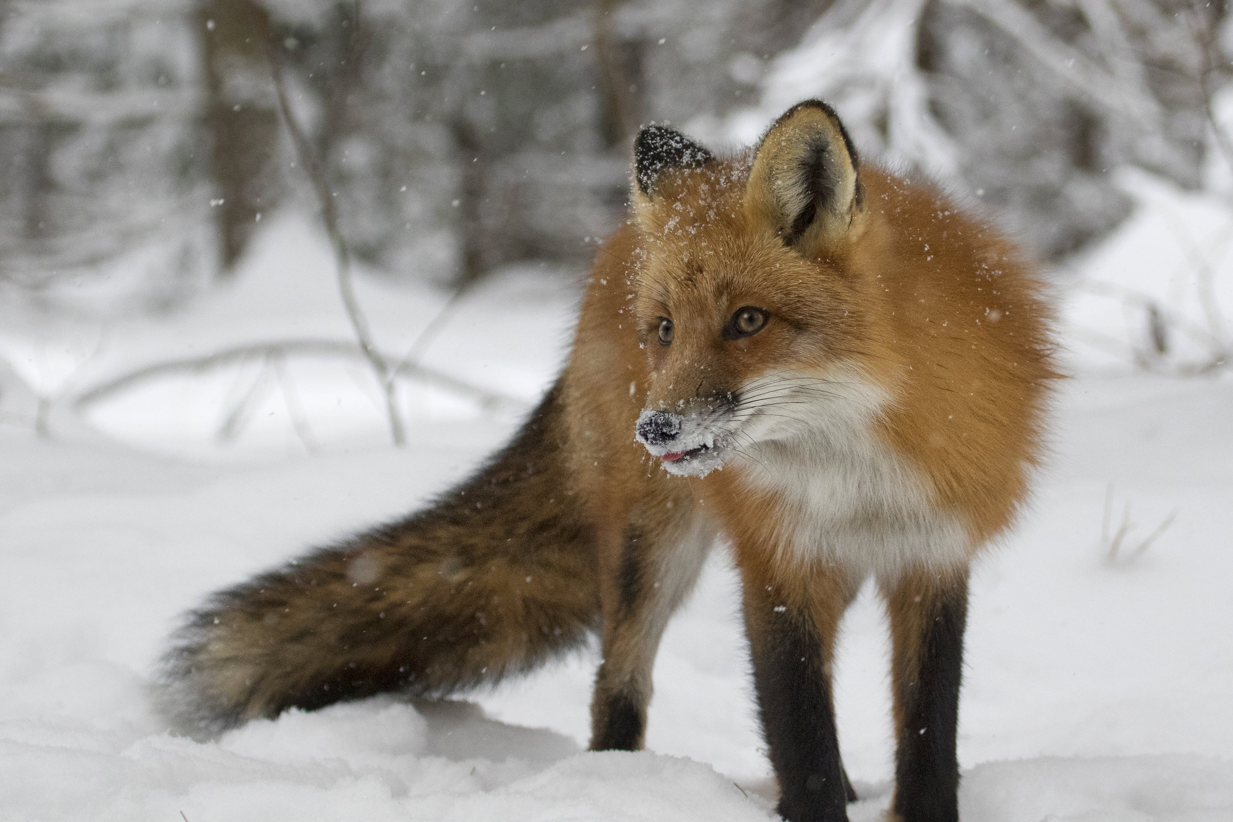 Red Fox in Algonquin - Across the Blue Planet