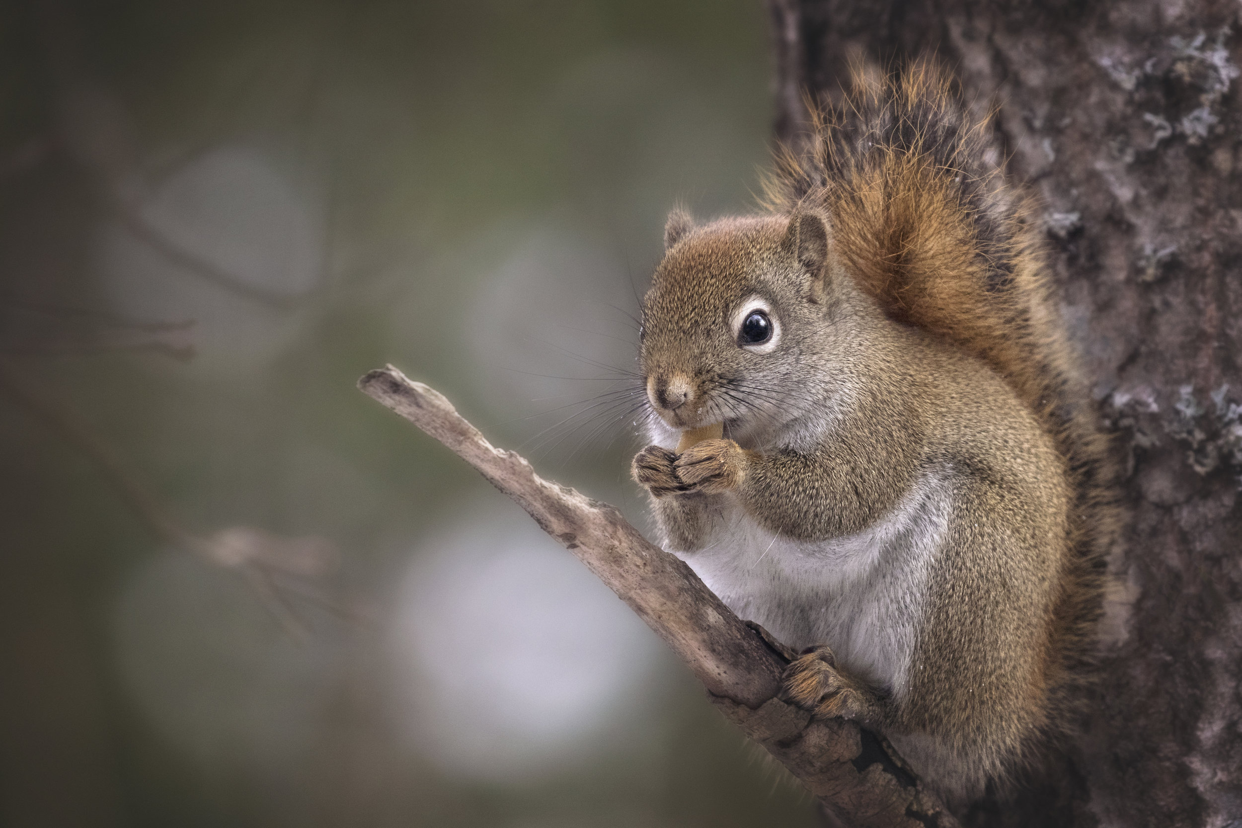 Red Squirrel in Algonquin Park - Across the Blue Planet