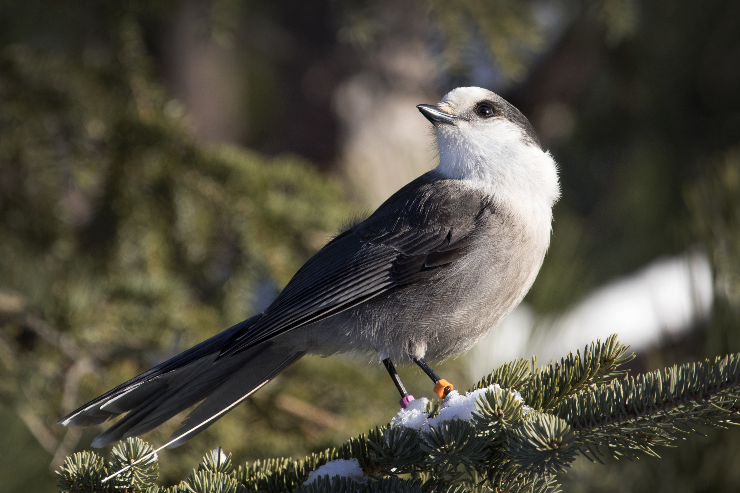 Grey Jay in Algonquin - Across the Blue Planet