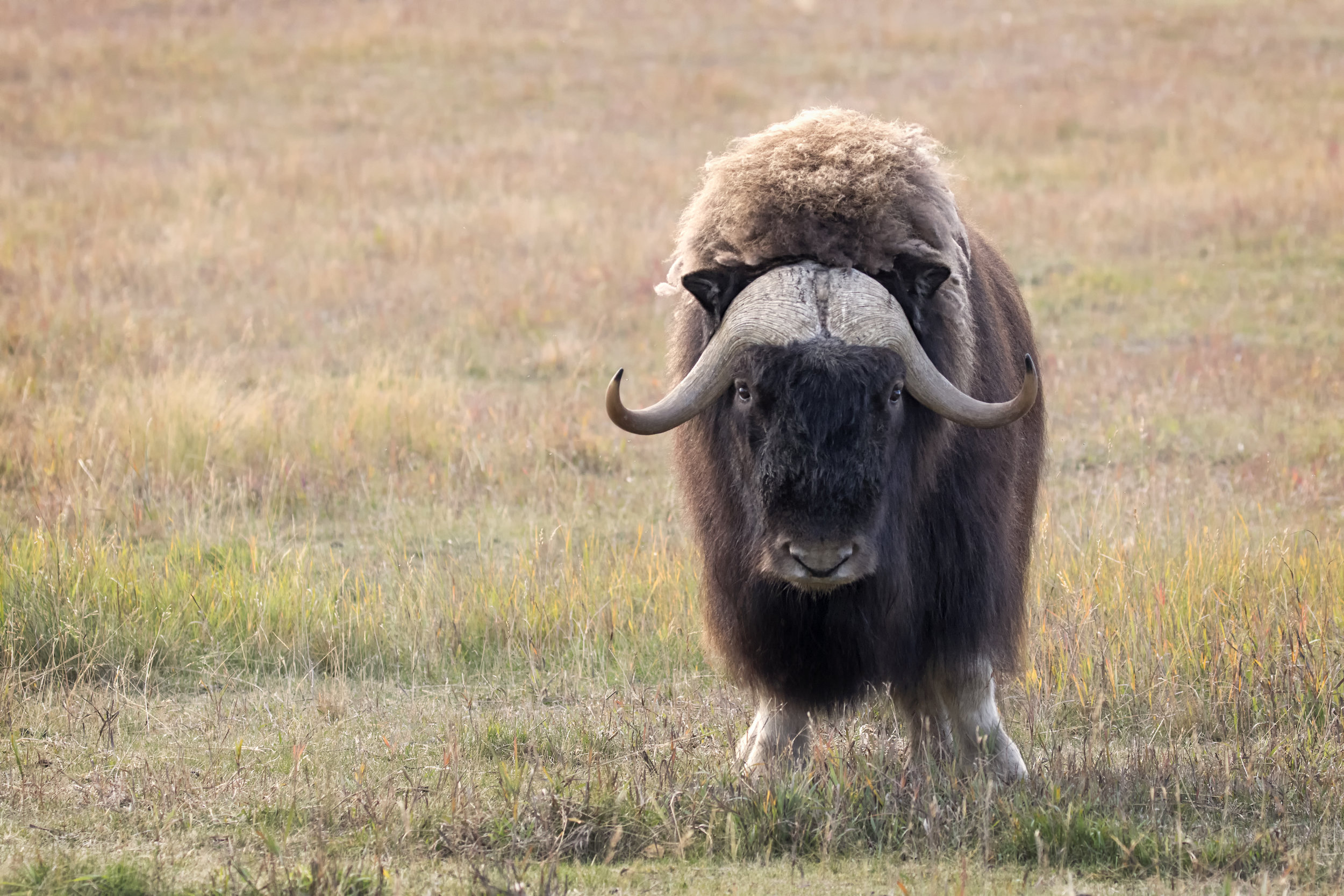 Muskox in Yukon - Across the Blue Planet