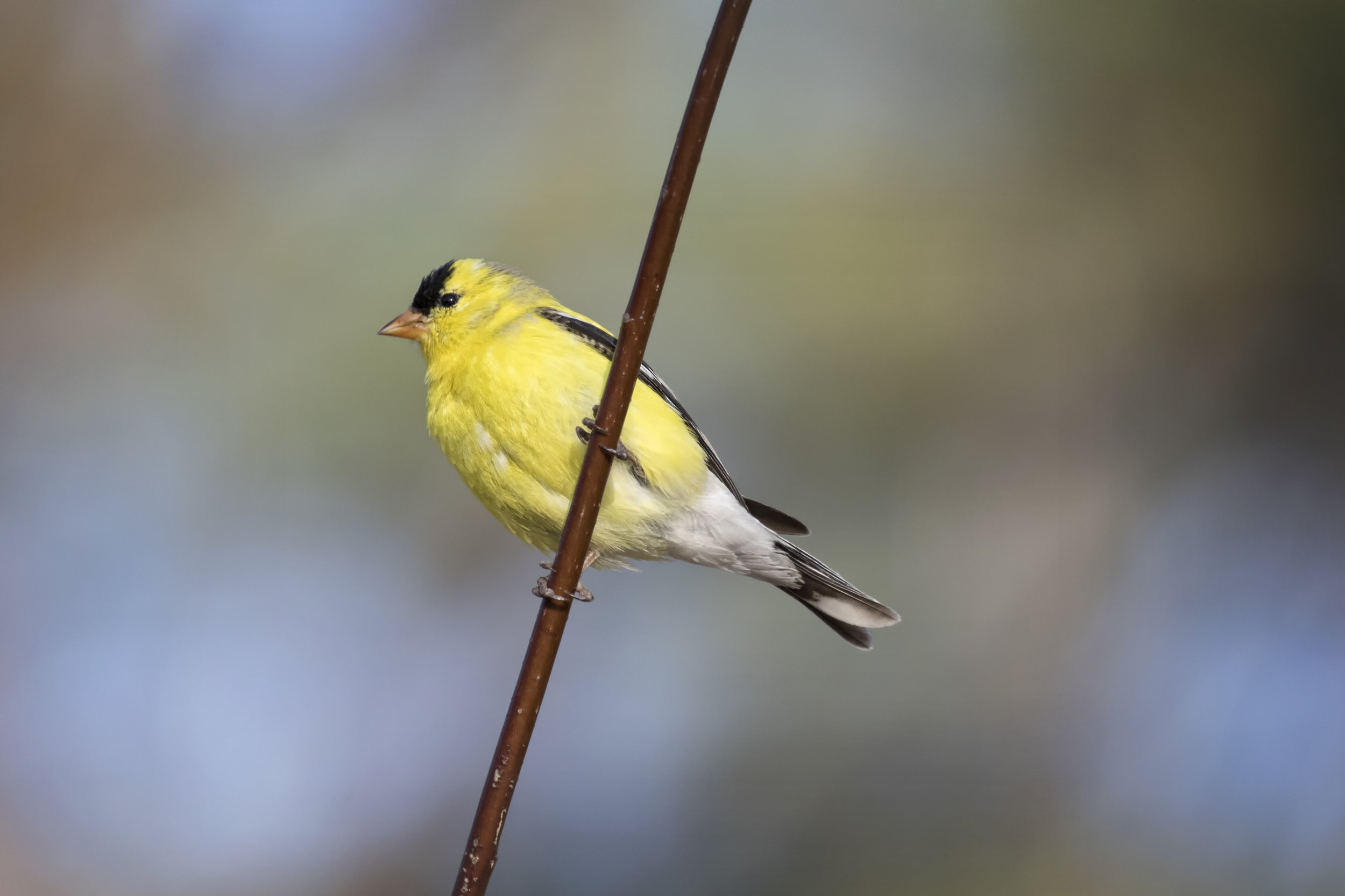 American Goldfinch in Rondeau Provincial Park