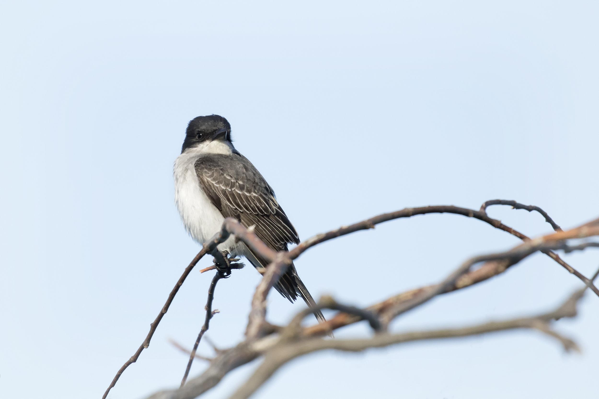 Eastern Kingbird in Point Pelee Provincial Park