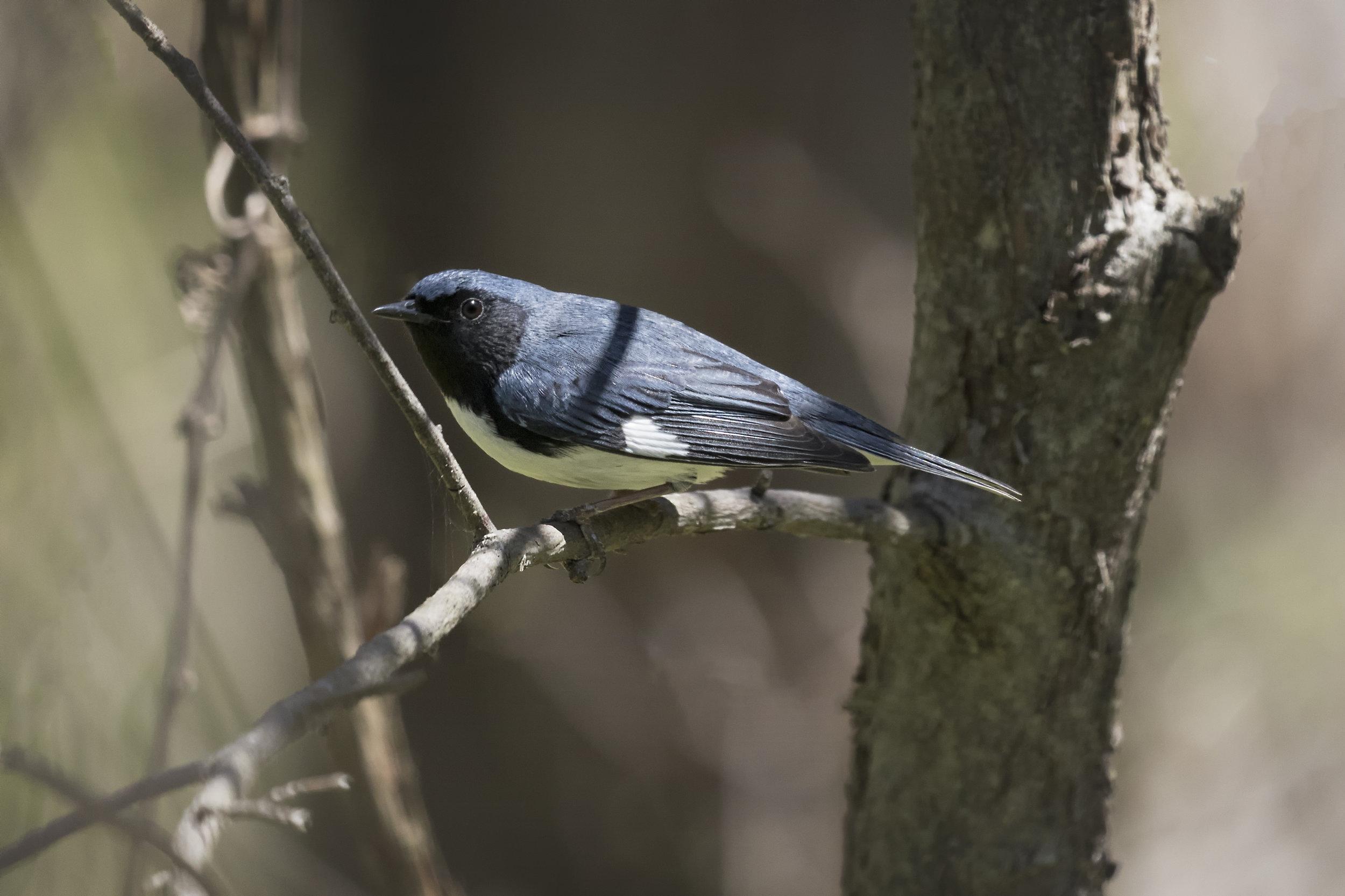 Black-throated Blue Warbler in Point Pelee Provincial Park