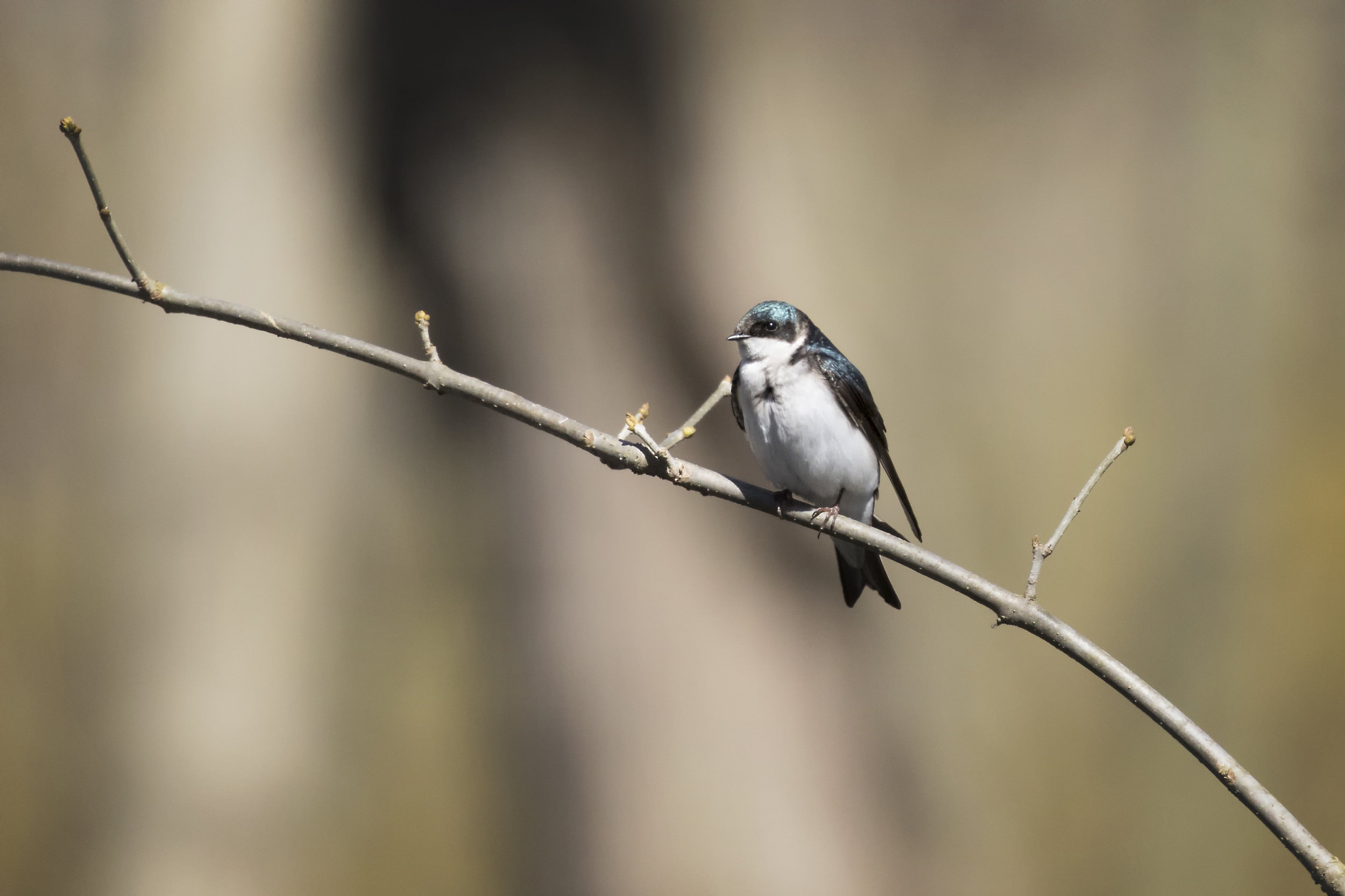 Tree Swallow - Point Peele Provincial Park