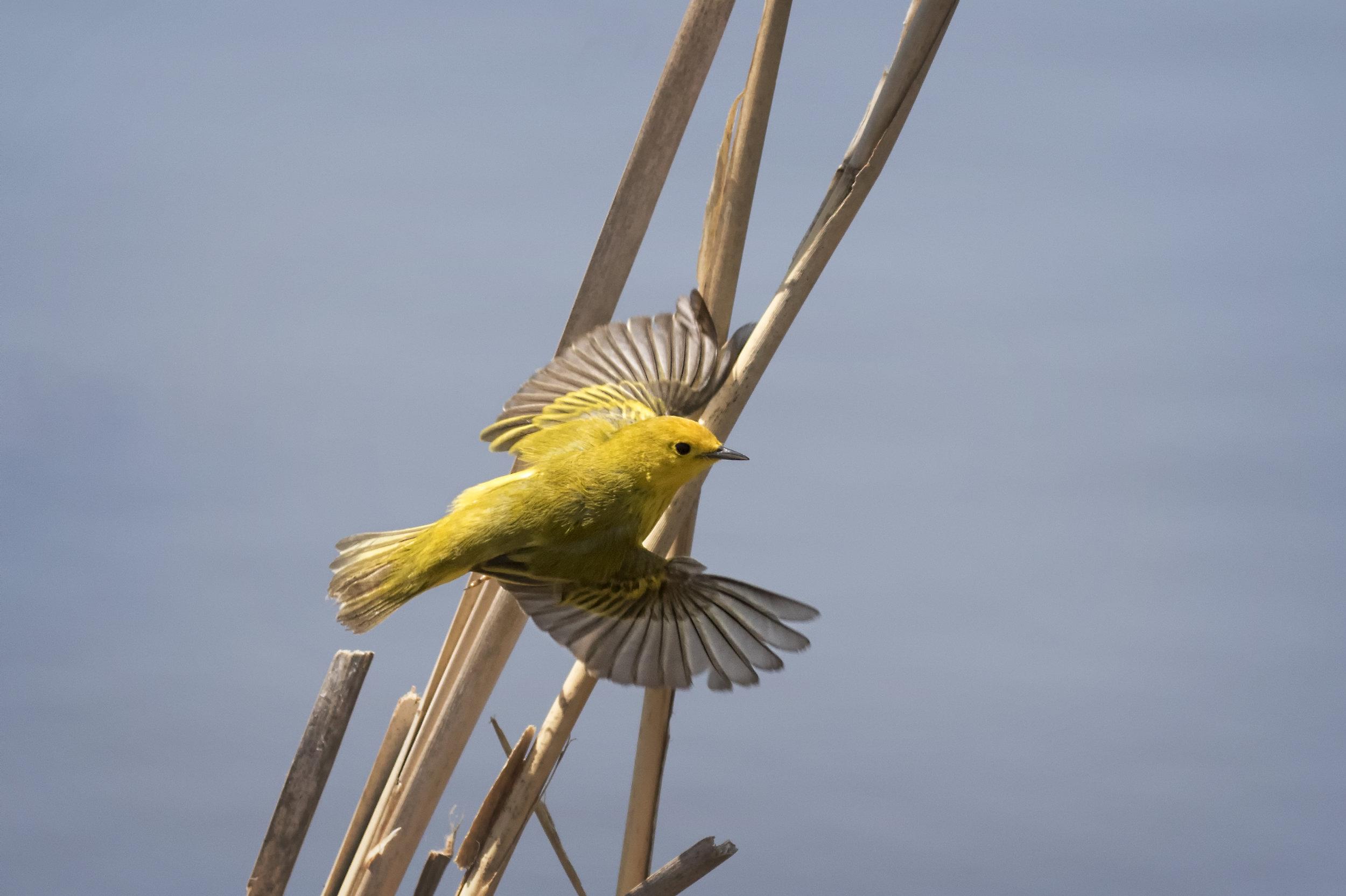 Yellow Warbler - Rondeau Provincial Park