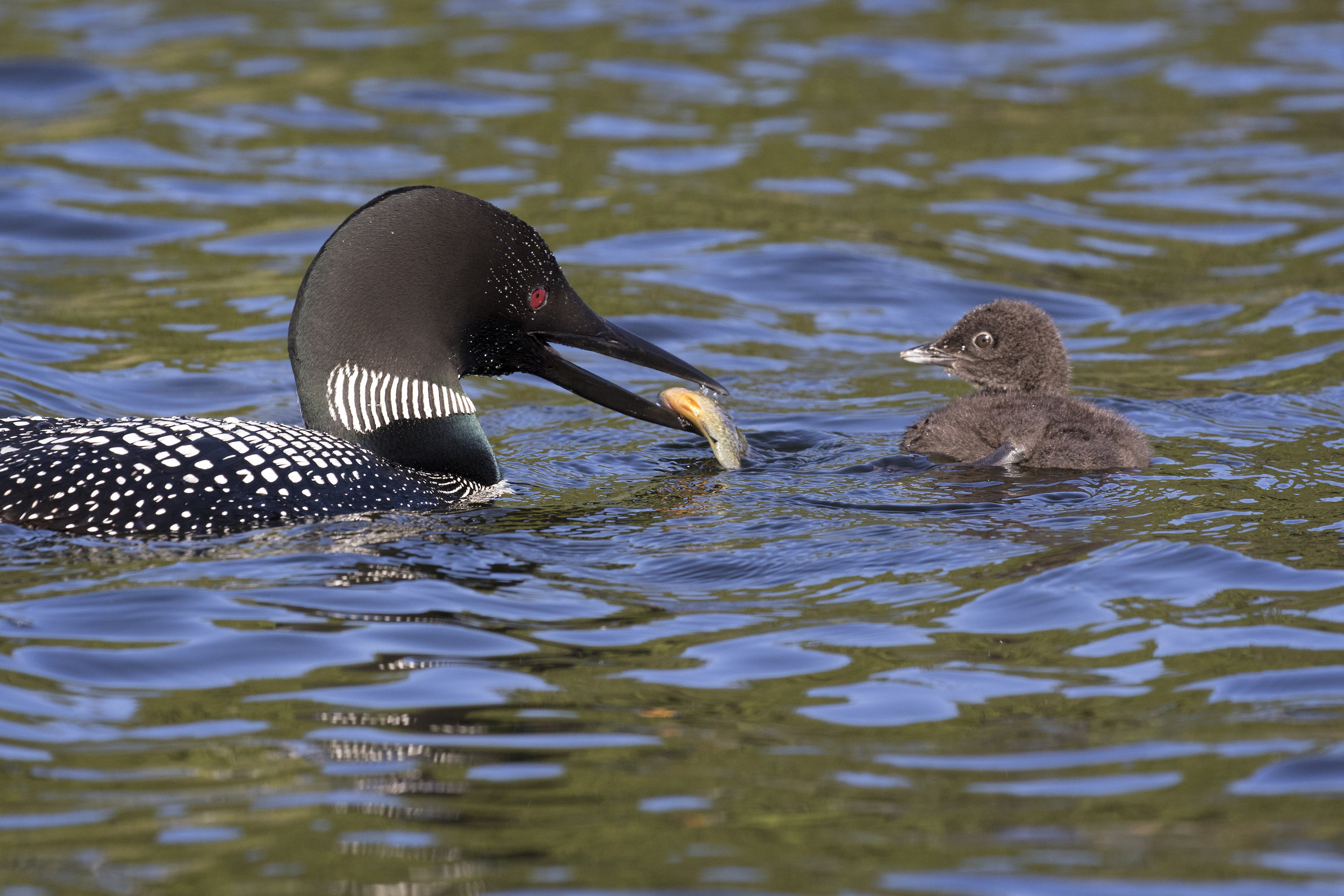 Common Loon & Chick - Across the Blue Planet