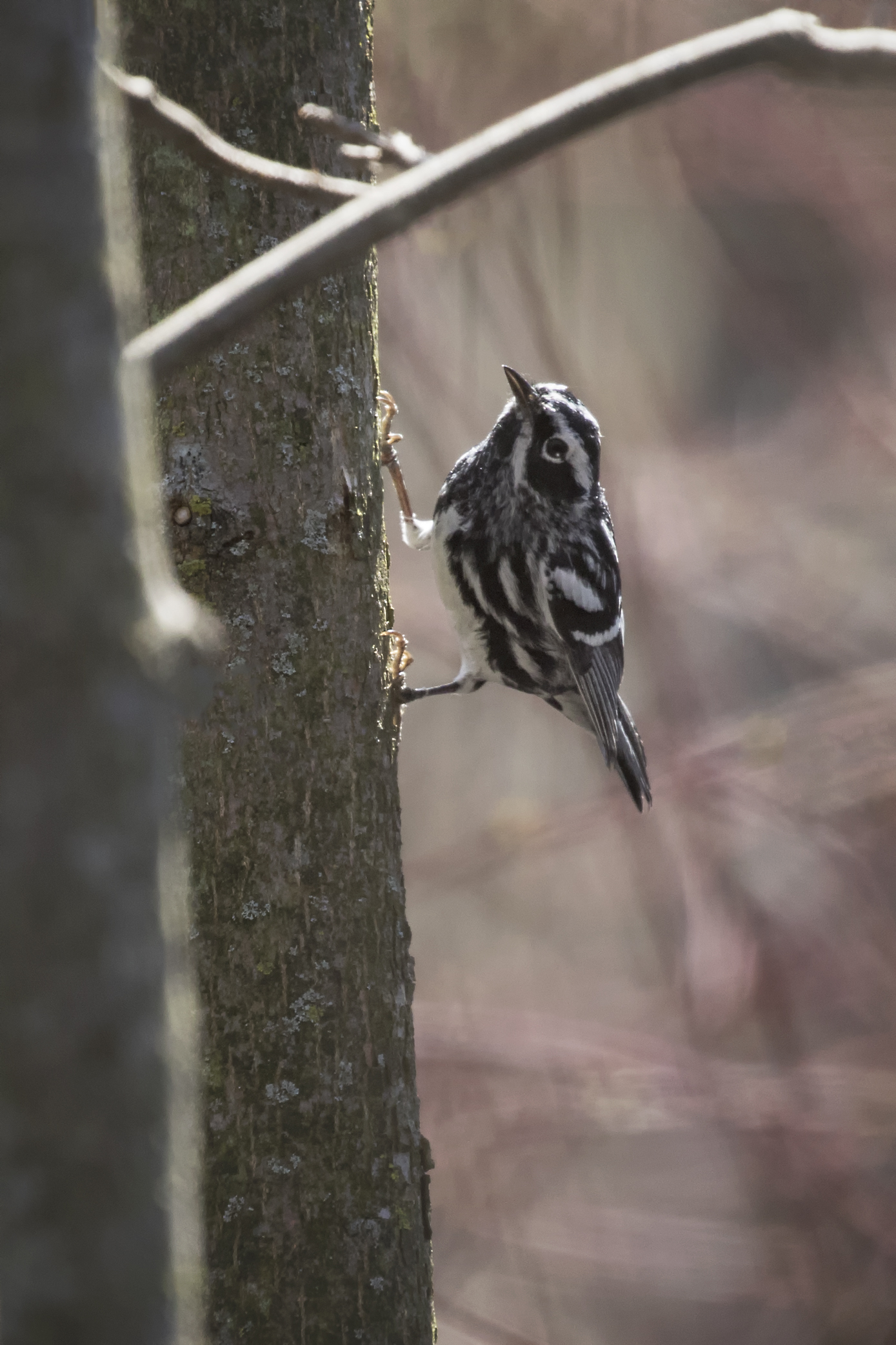 Black and white warbler - Across the Blue Planet