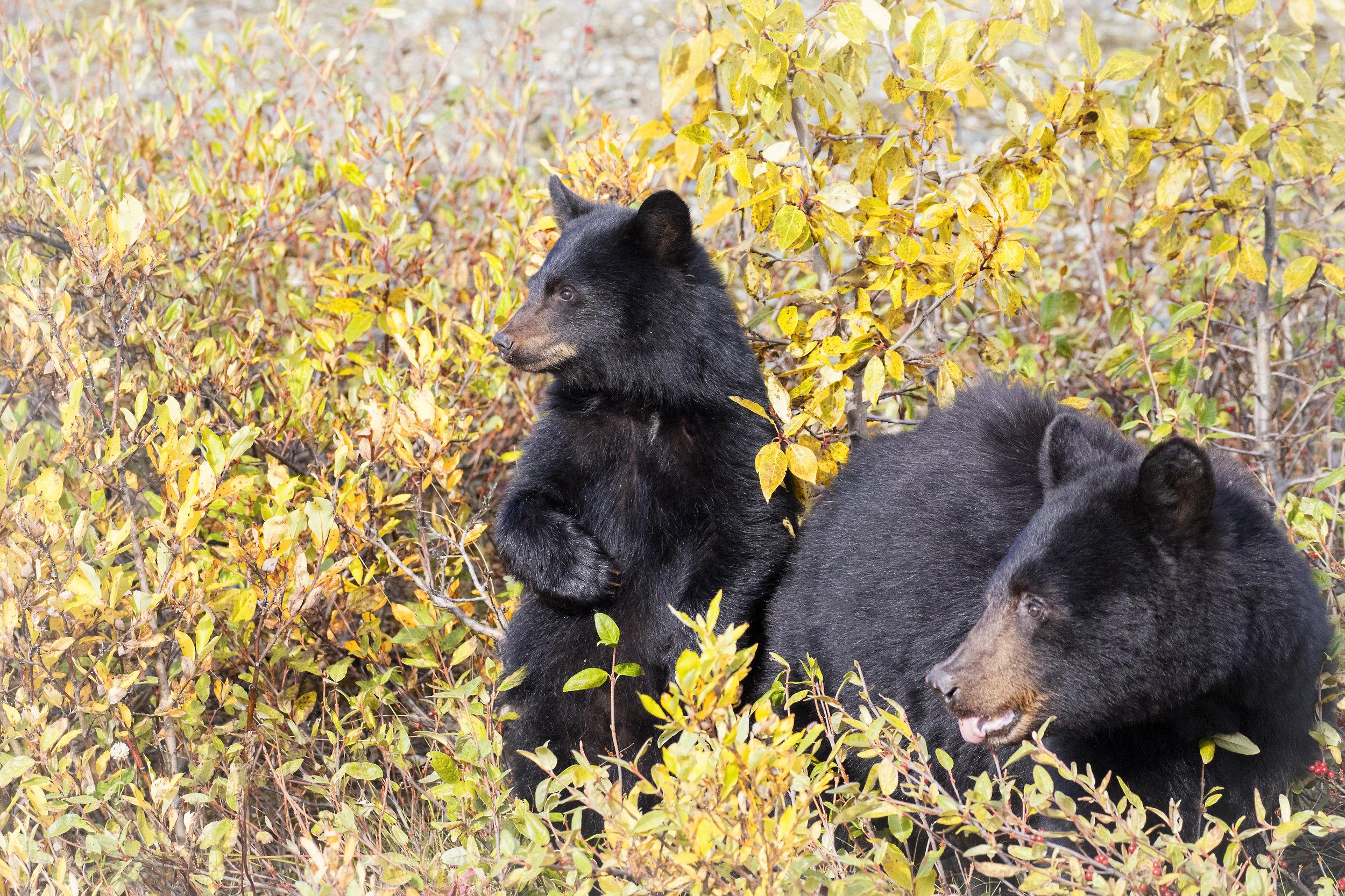 Black Bear Mom and Cub - Across the Blue Planet