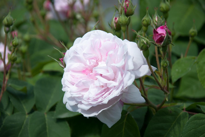 Florence Rose