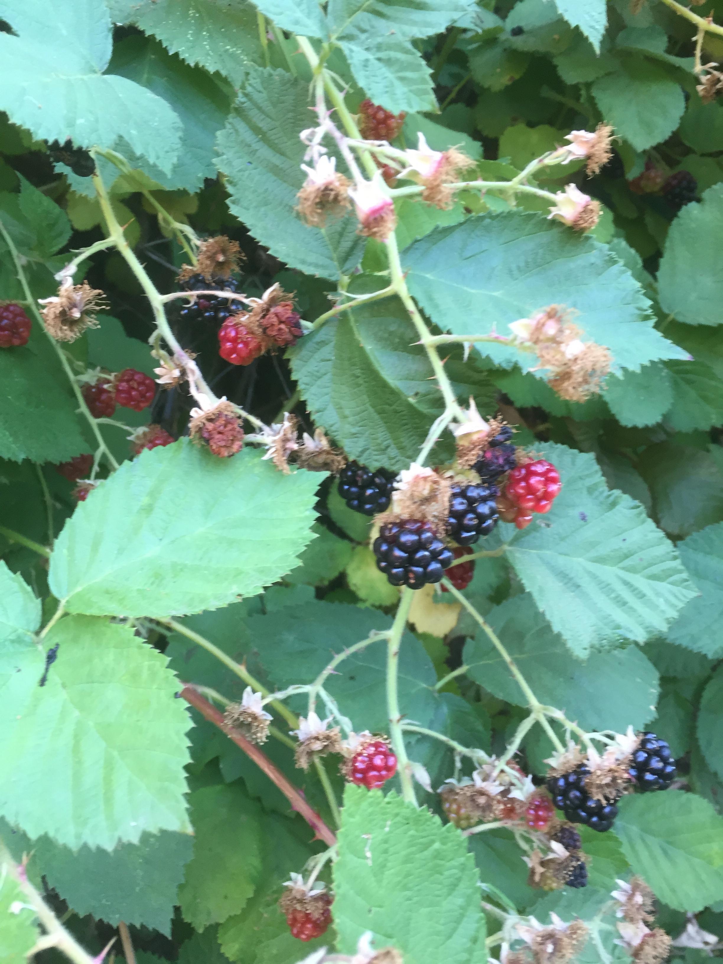 Yummy blackberries growing on trail