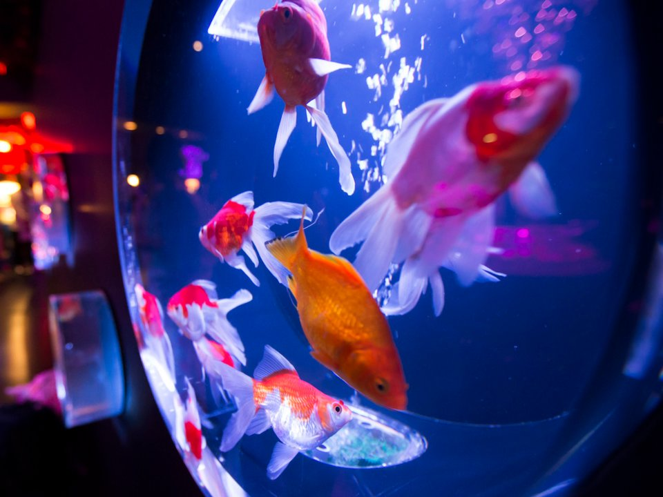 A fish tank has about the same effect on people as watching a hearth fire. Tomohiro Ohsumi/Getty