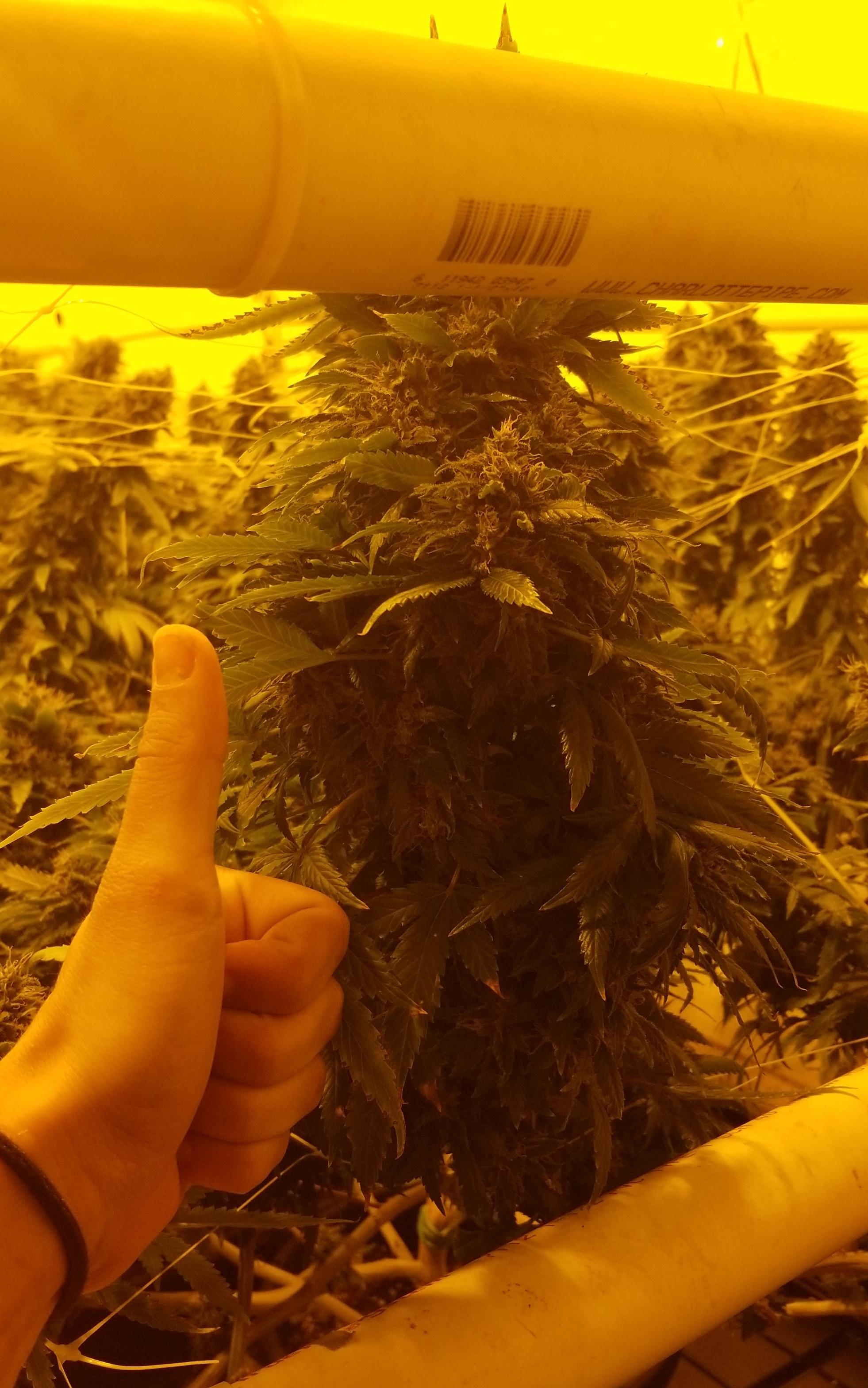 cannabiscolabigbudflower.jpg