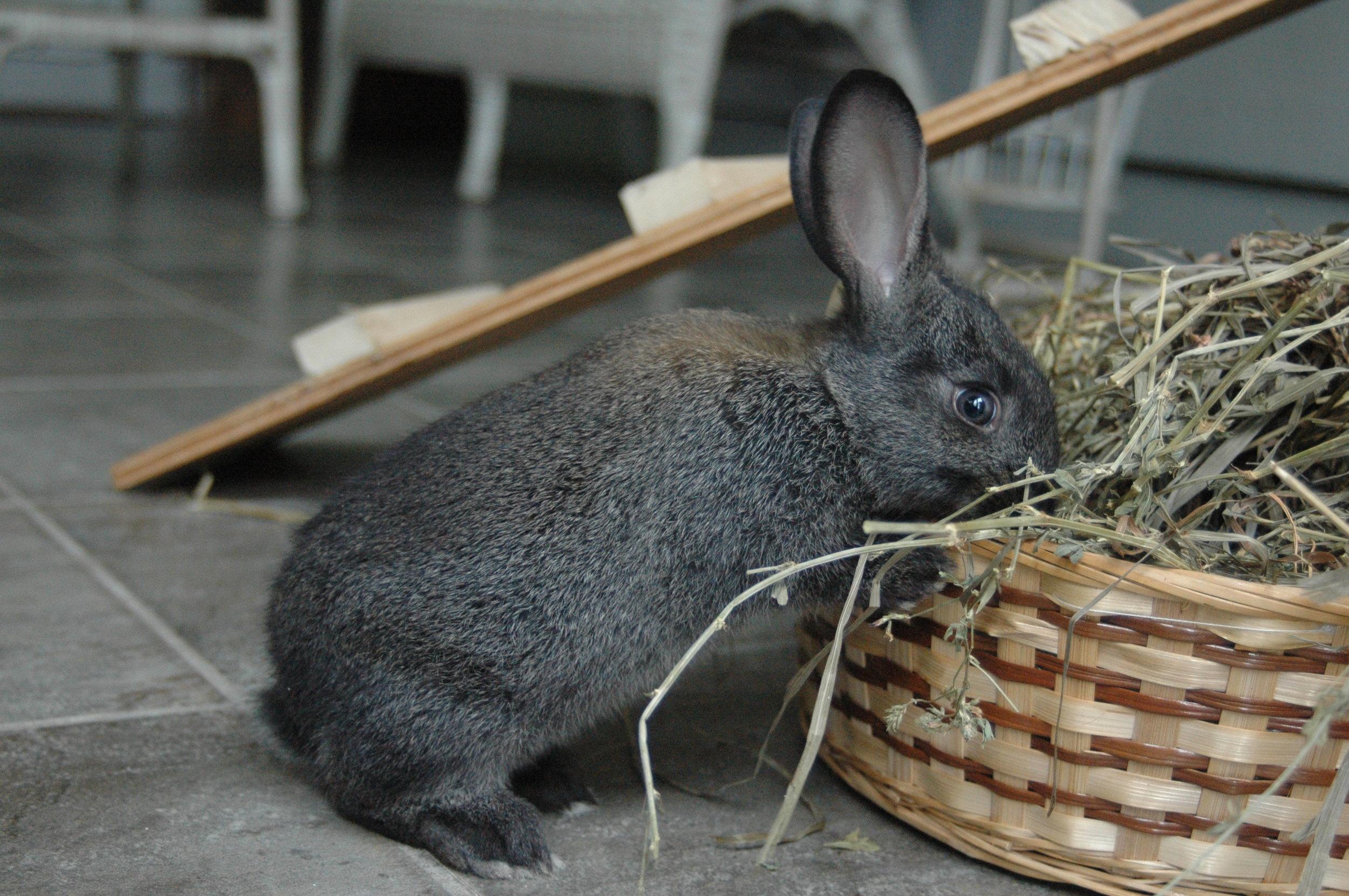 Sunshile eating hay (1).JPG