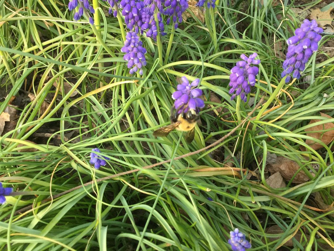 bumblebee on flowers.JPG