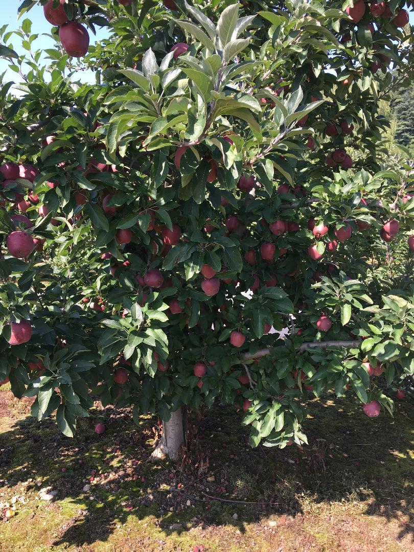 apple tree hendersonville nc orchard.jpg