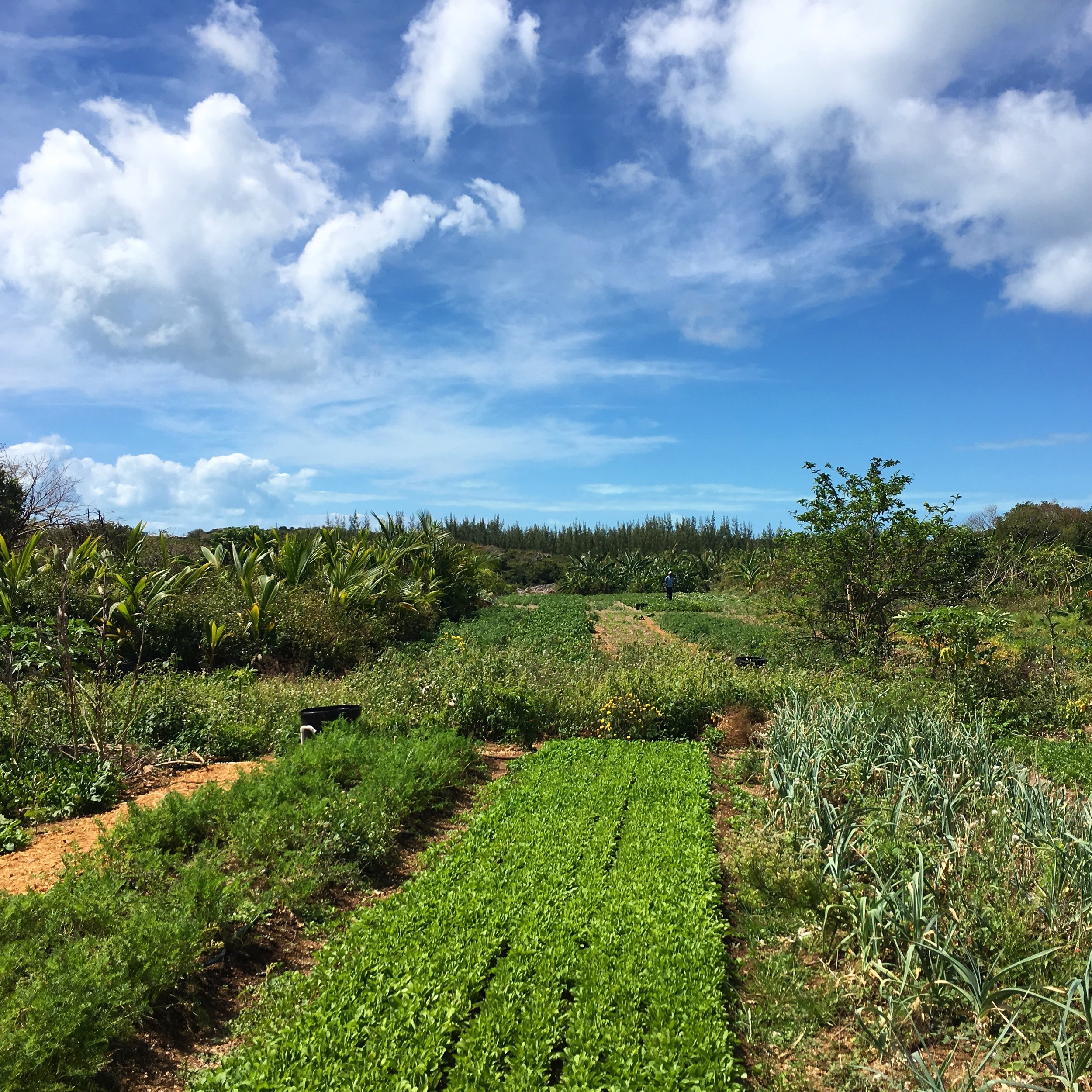 Eleuthera Island Farm fields