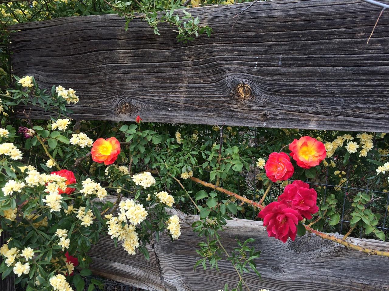 RosesFence.jpg