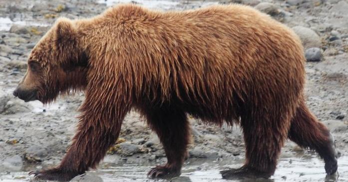 brown-bear-on-the-beach.700x700.jpg