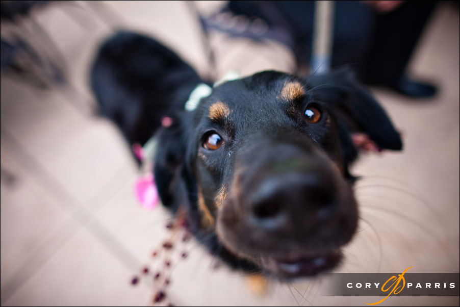 dog portrait at a wedding by seattle wedding photographer cory parris