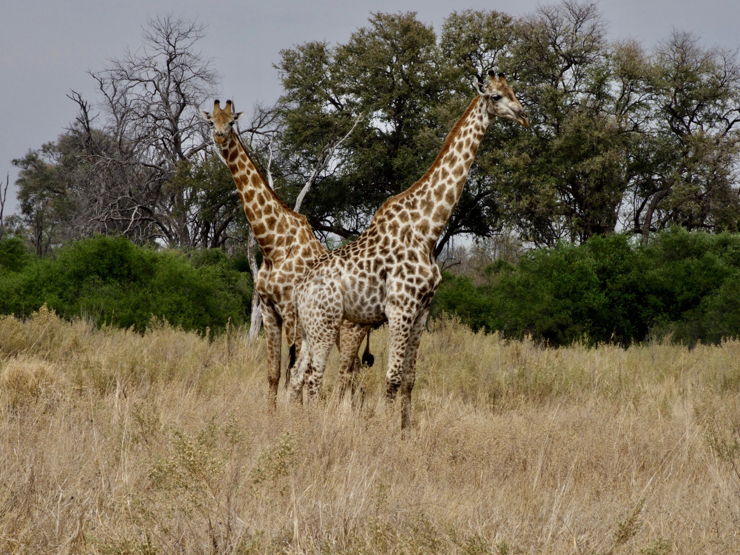 9. Two Giraffes._9051015.jpg