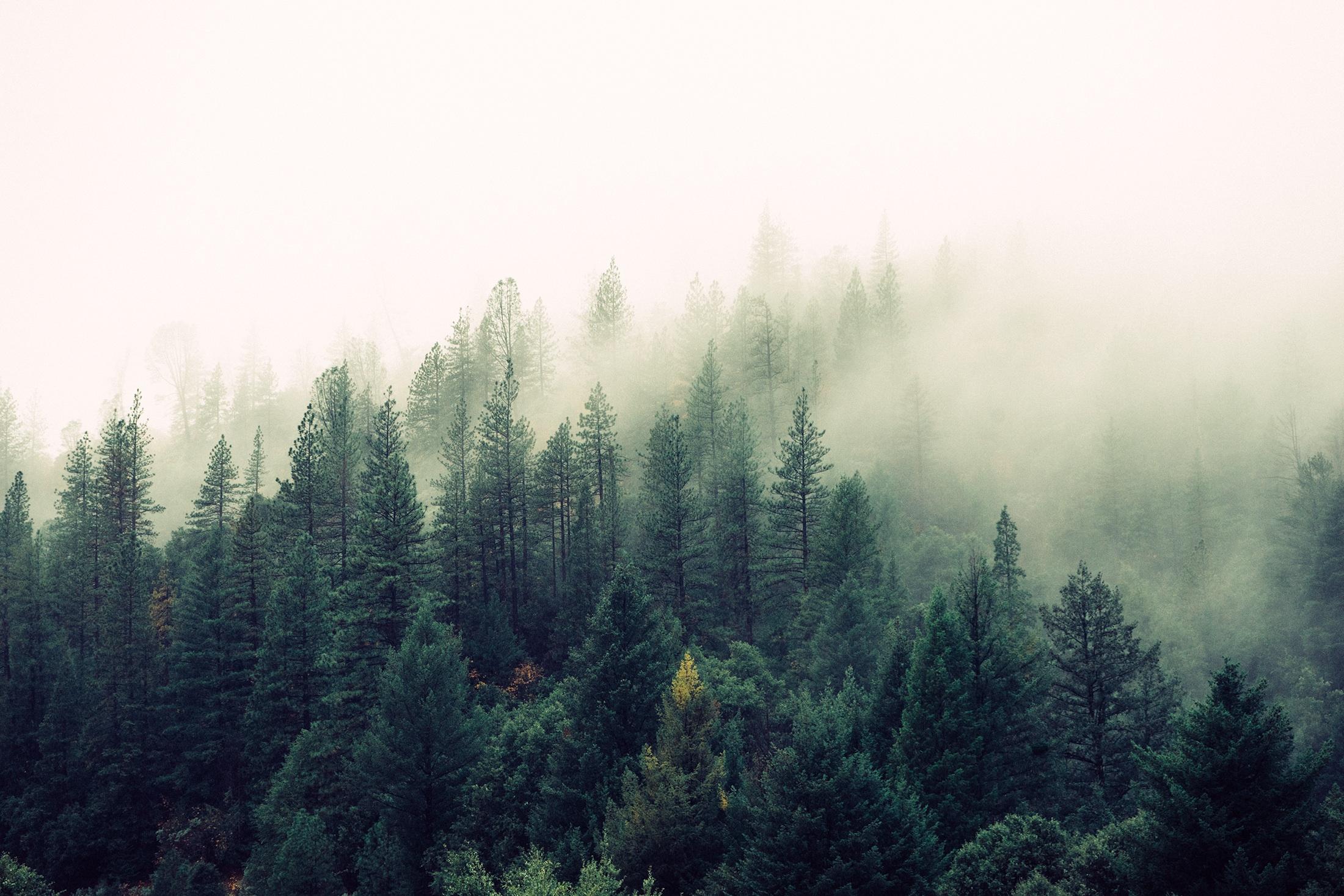 nature-forest-trees-fog (1).jpeg