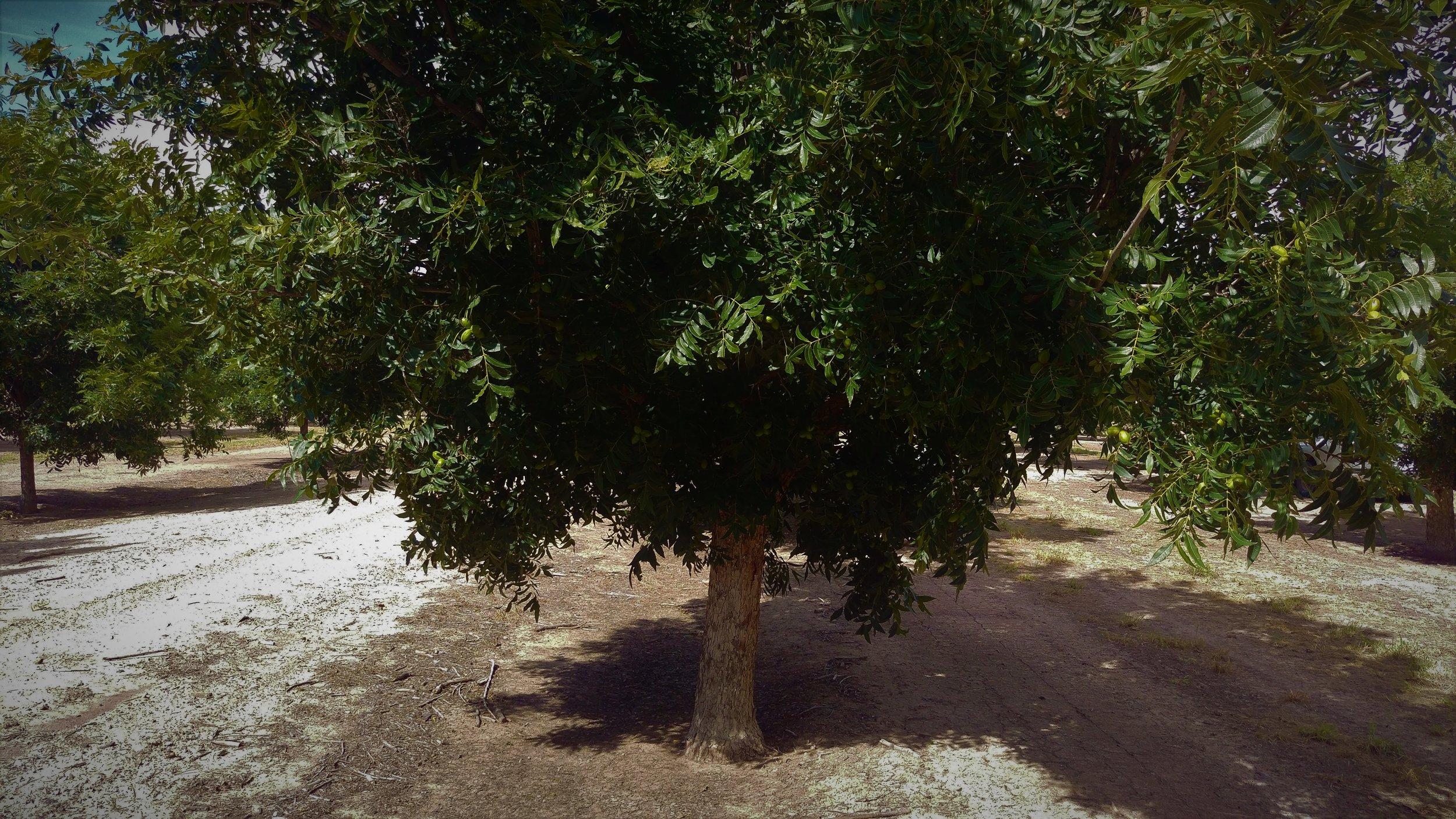 Sodic soil pecan.jpg