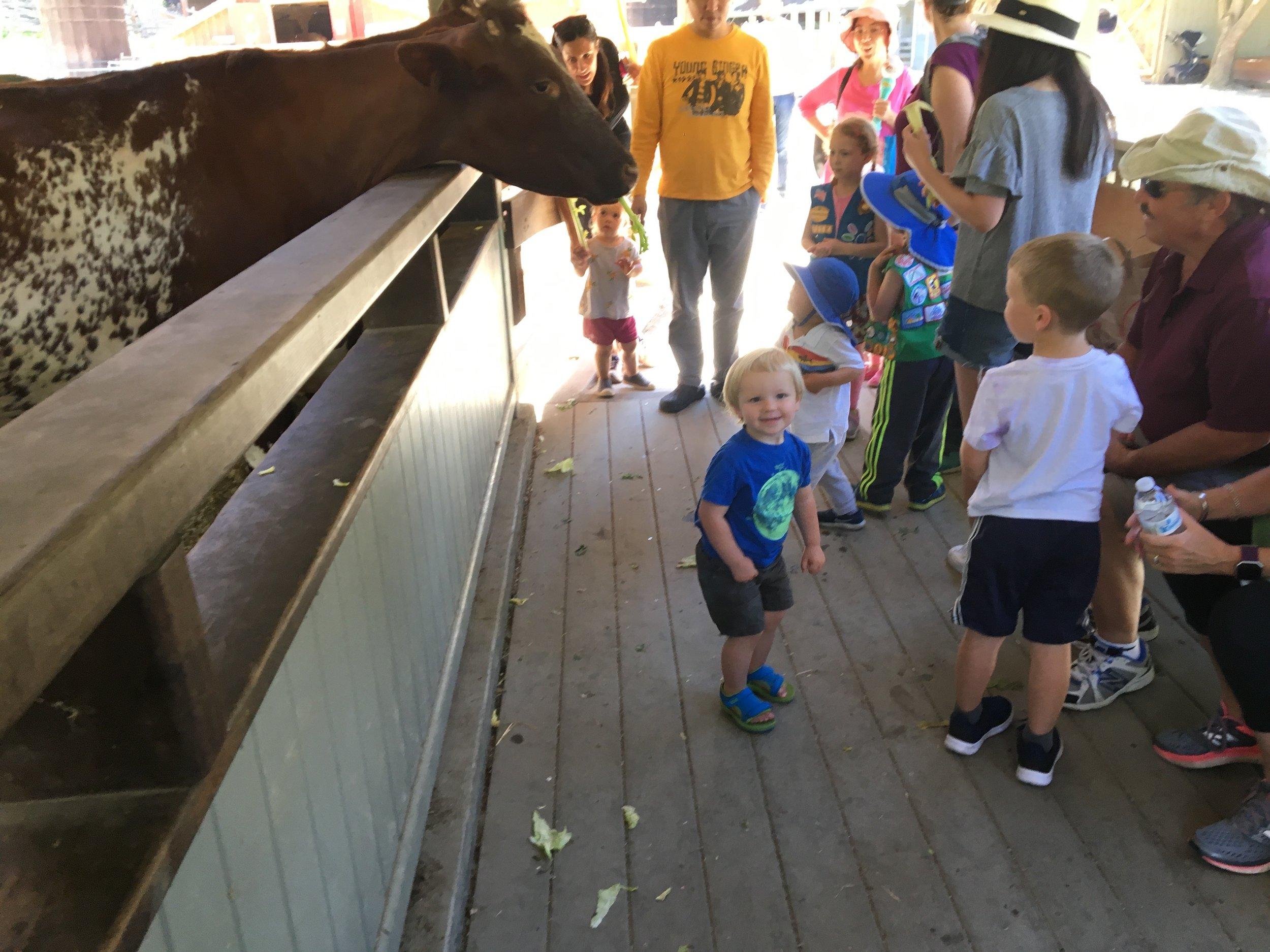 Feeding the cows at Tilden
